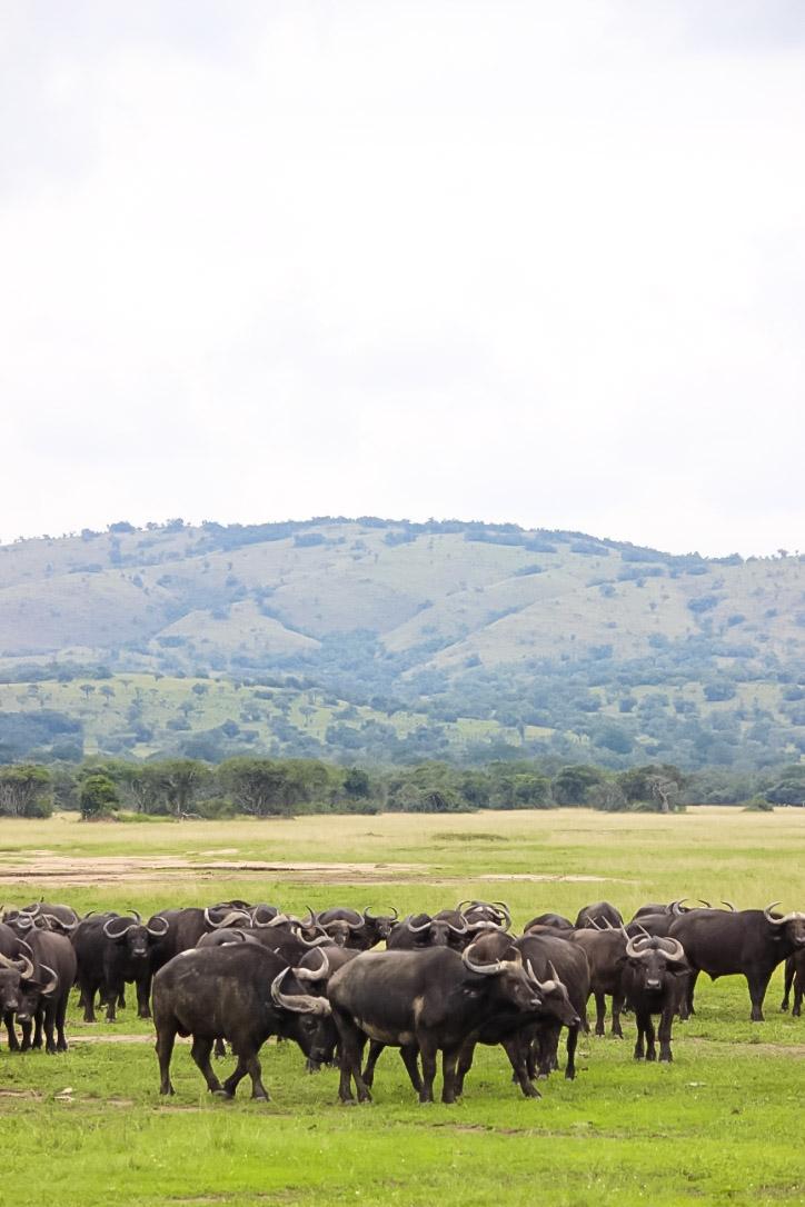 curio.trips.rwanda.akagera.np.buffalo.group.jpg