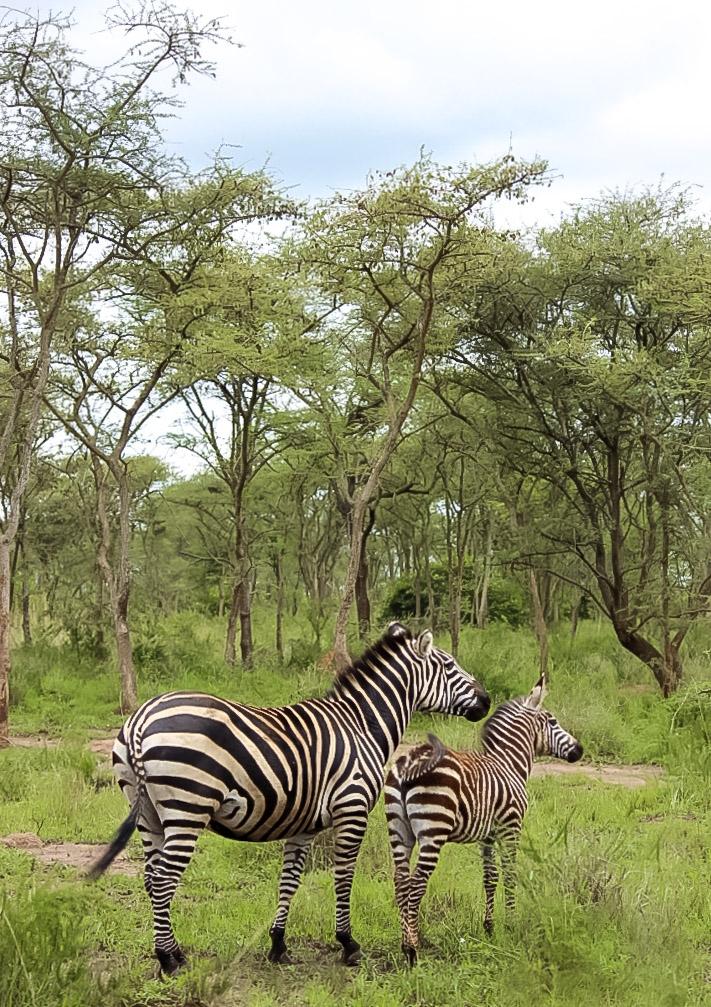 curio.trips.rwanda.akagera.np.zebra.mama.baby.jpg