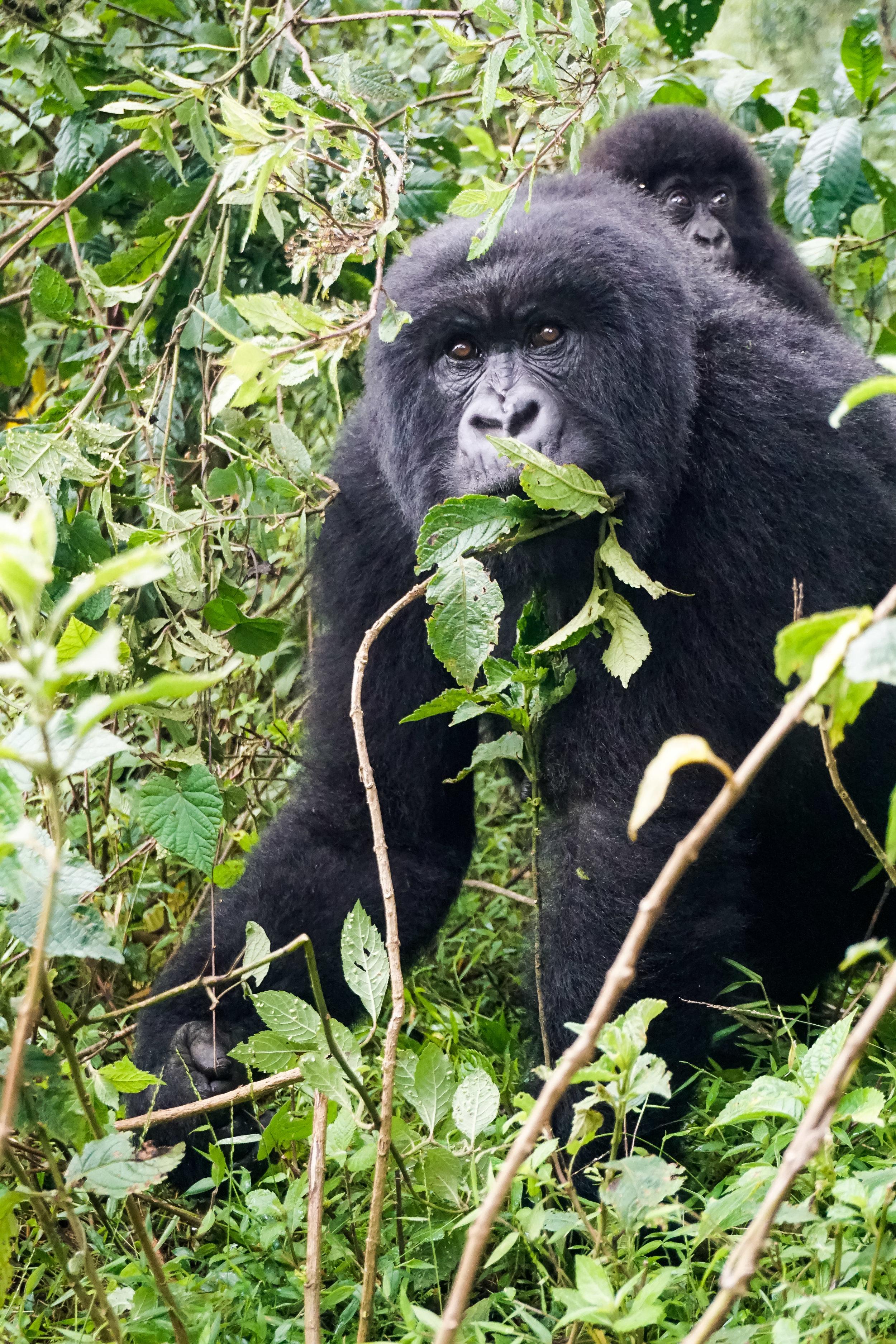 curio.trips.rwanda.volcanoes.np.mama.baby.gorillas.jpg