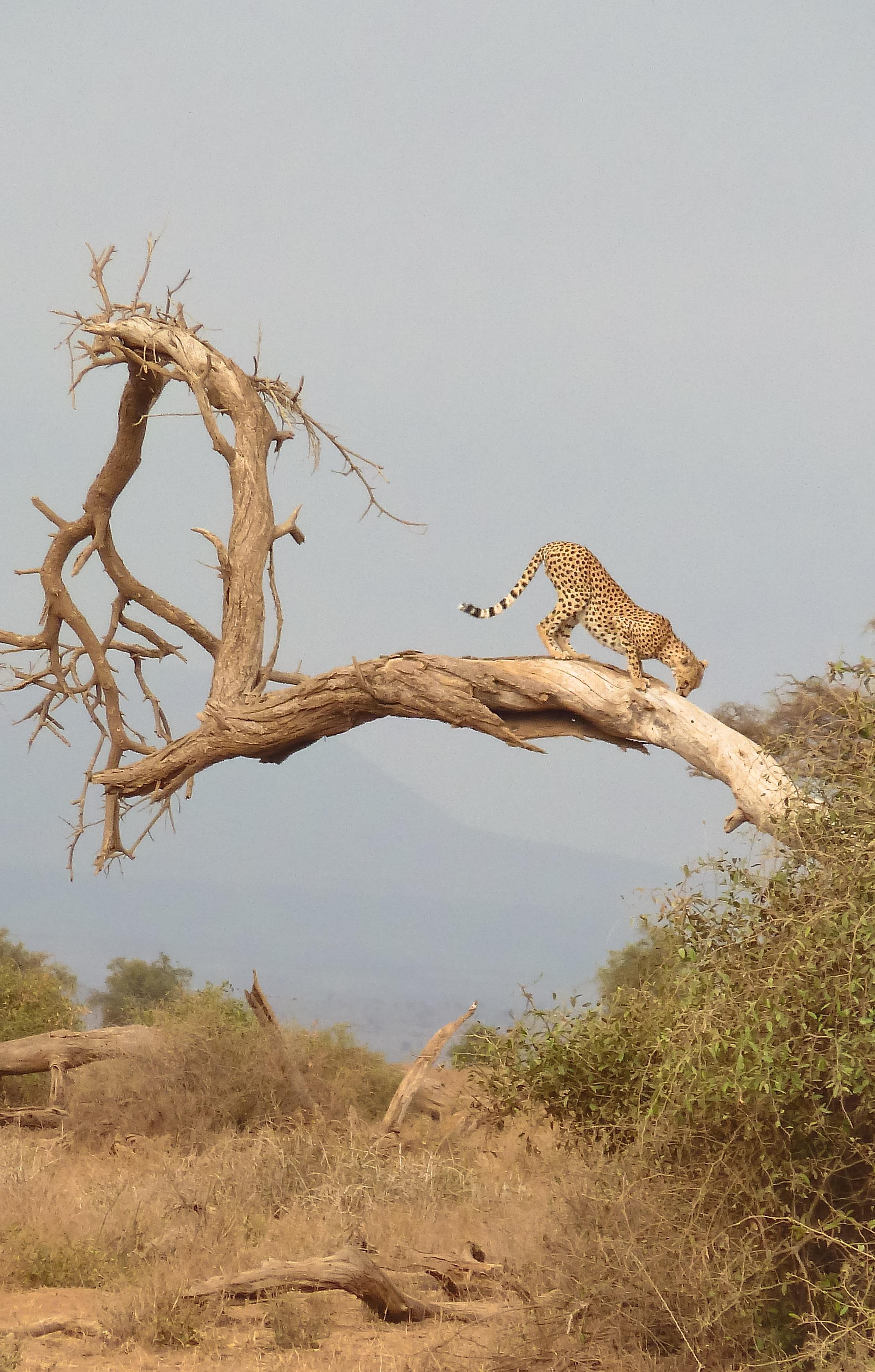 curio.trips.kenya.cheetah.bent.forward.tree.portrait.jpg