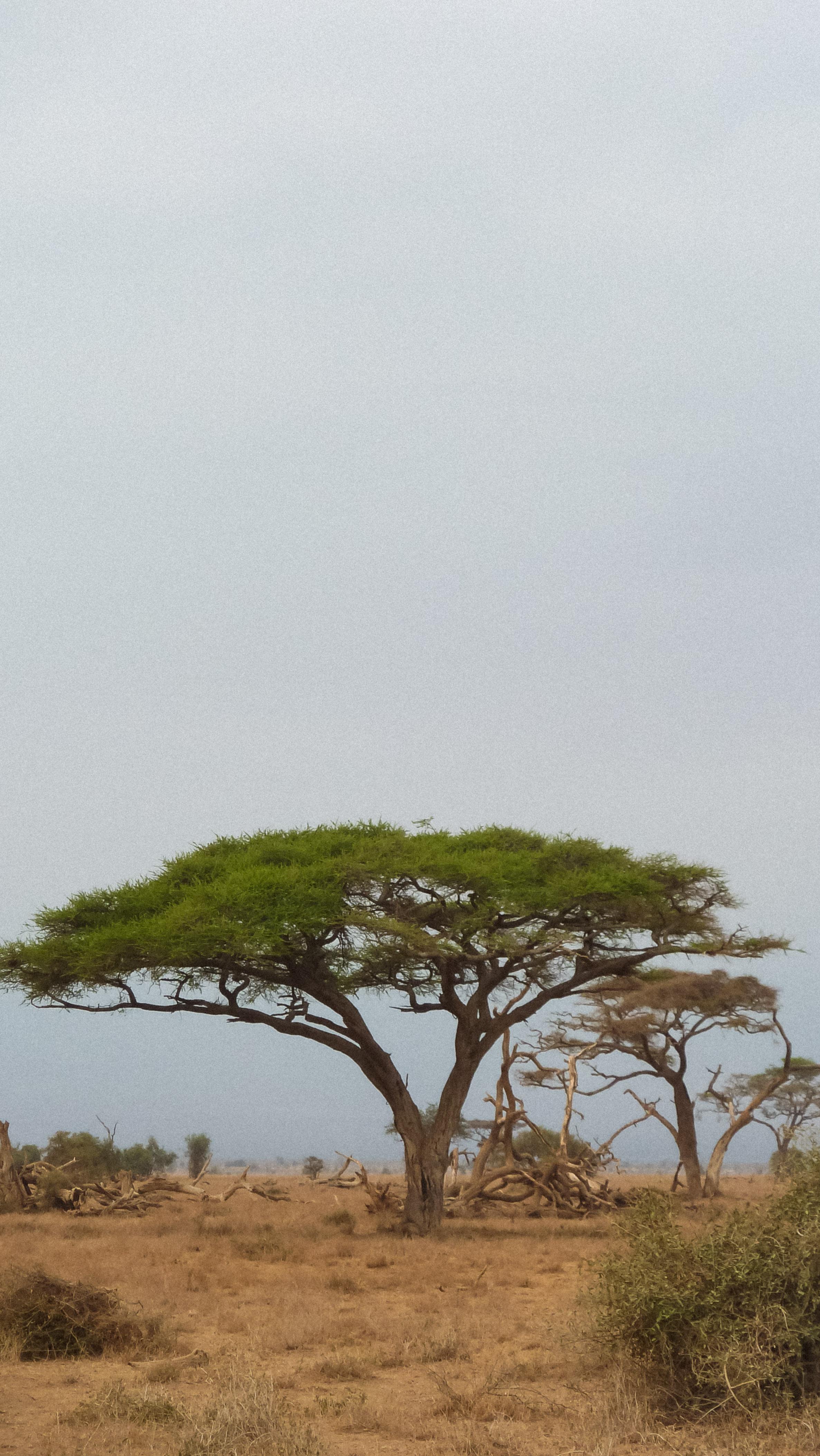 curio.trips.kenya.maasai.mara.lone.tree.portrait.jpg