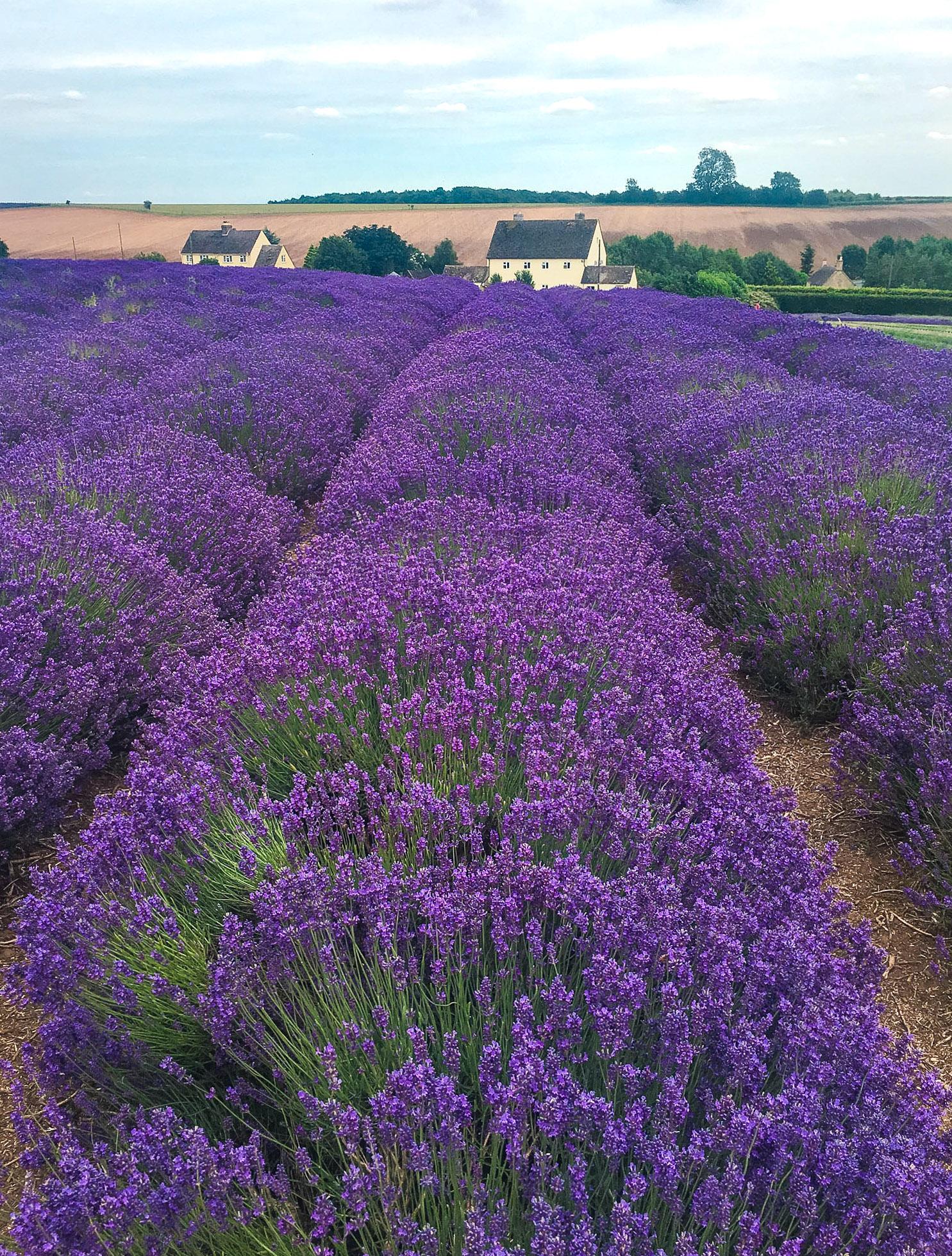 curio.trips.england.lavender.field.house.portrait-2.jpg