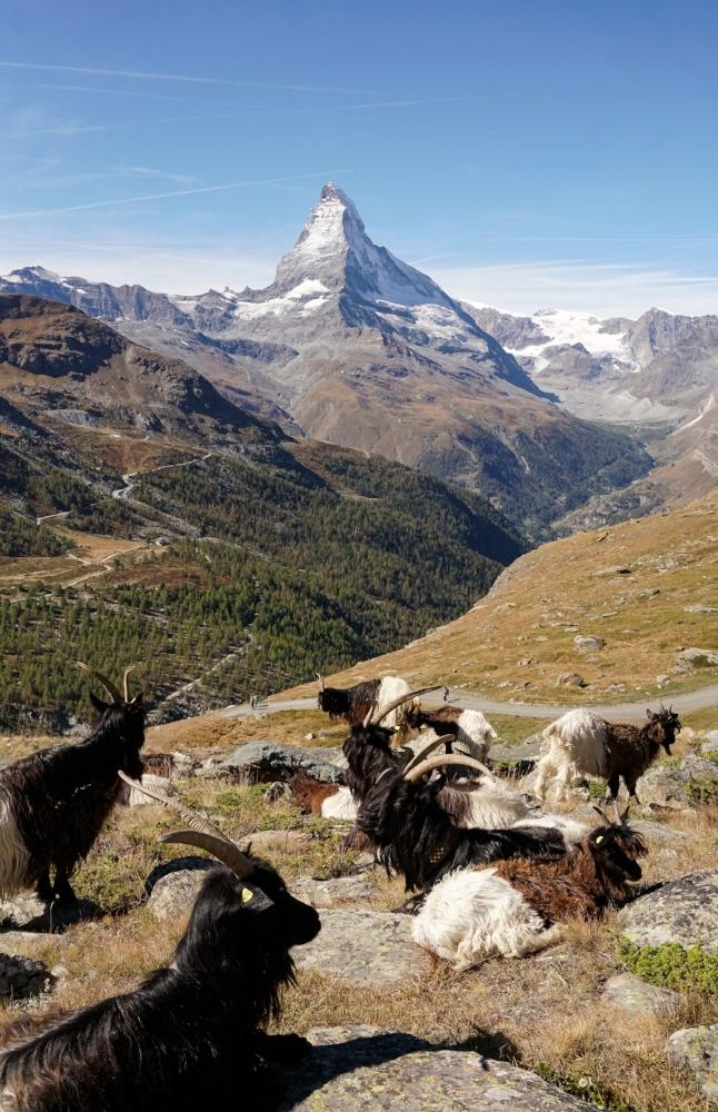 curio.trips.switzerland.matterhorn.goats.portrait.jpg