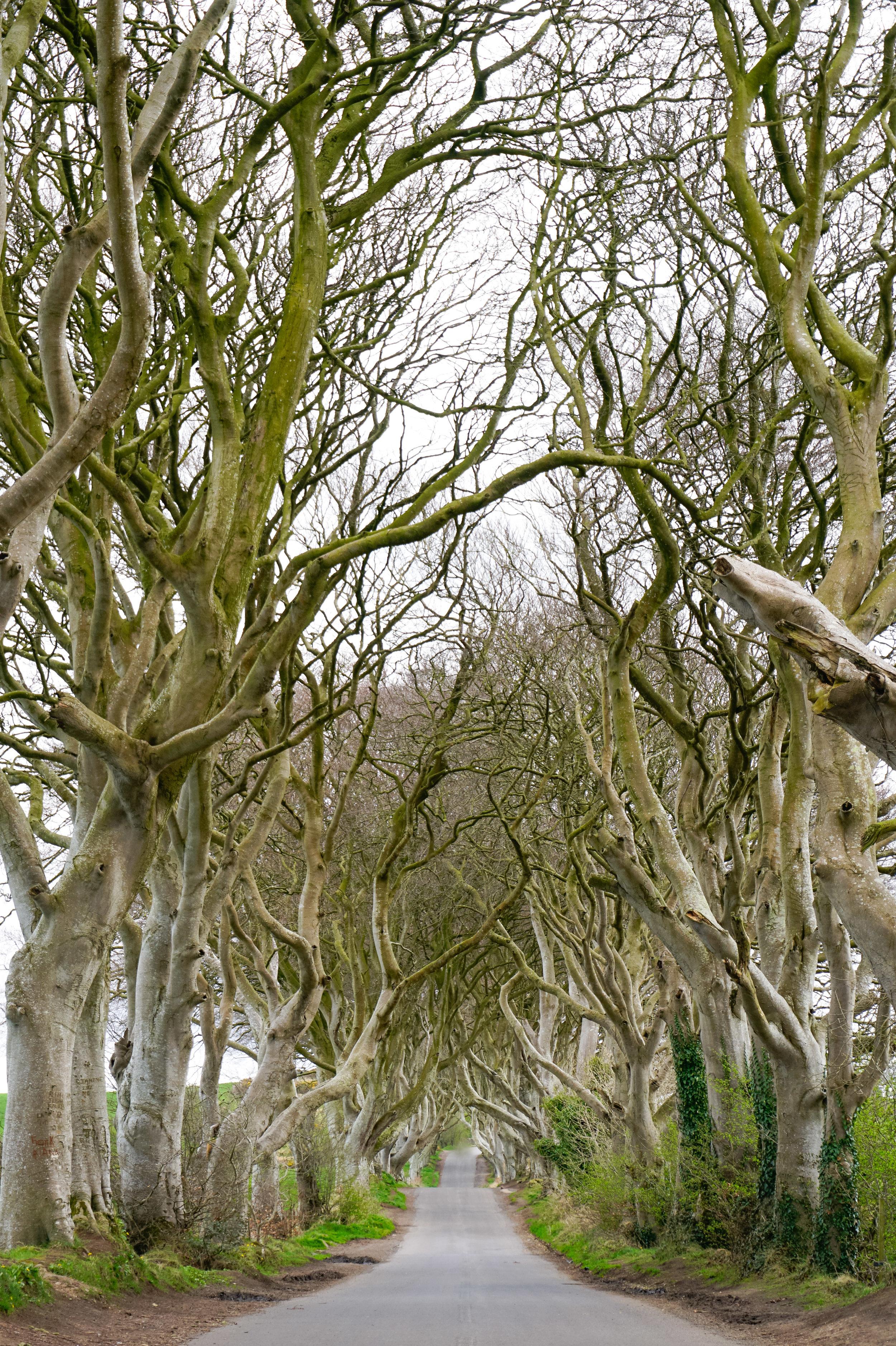 curio.trips.ireland.dark.hedges.portrait.jpg
