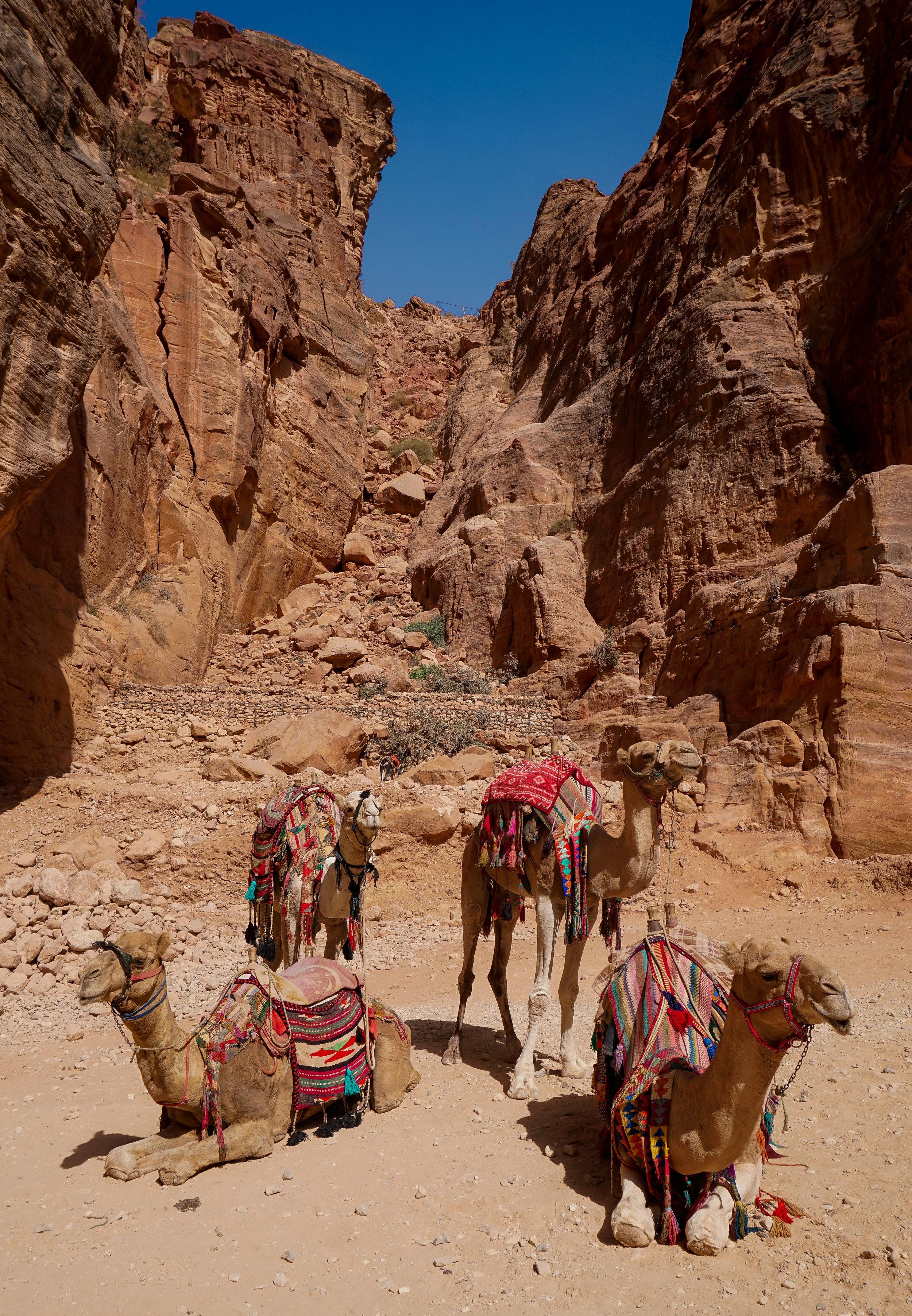curio.trips.jordan.petra.camels.portrait.jpg