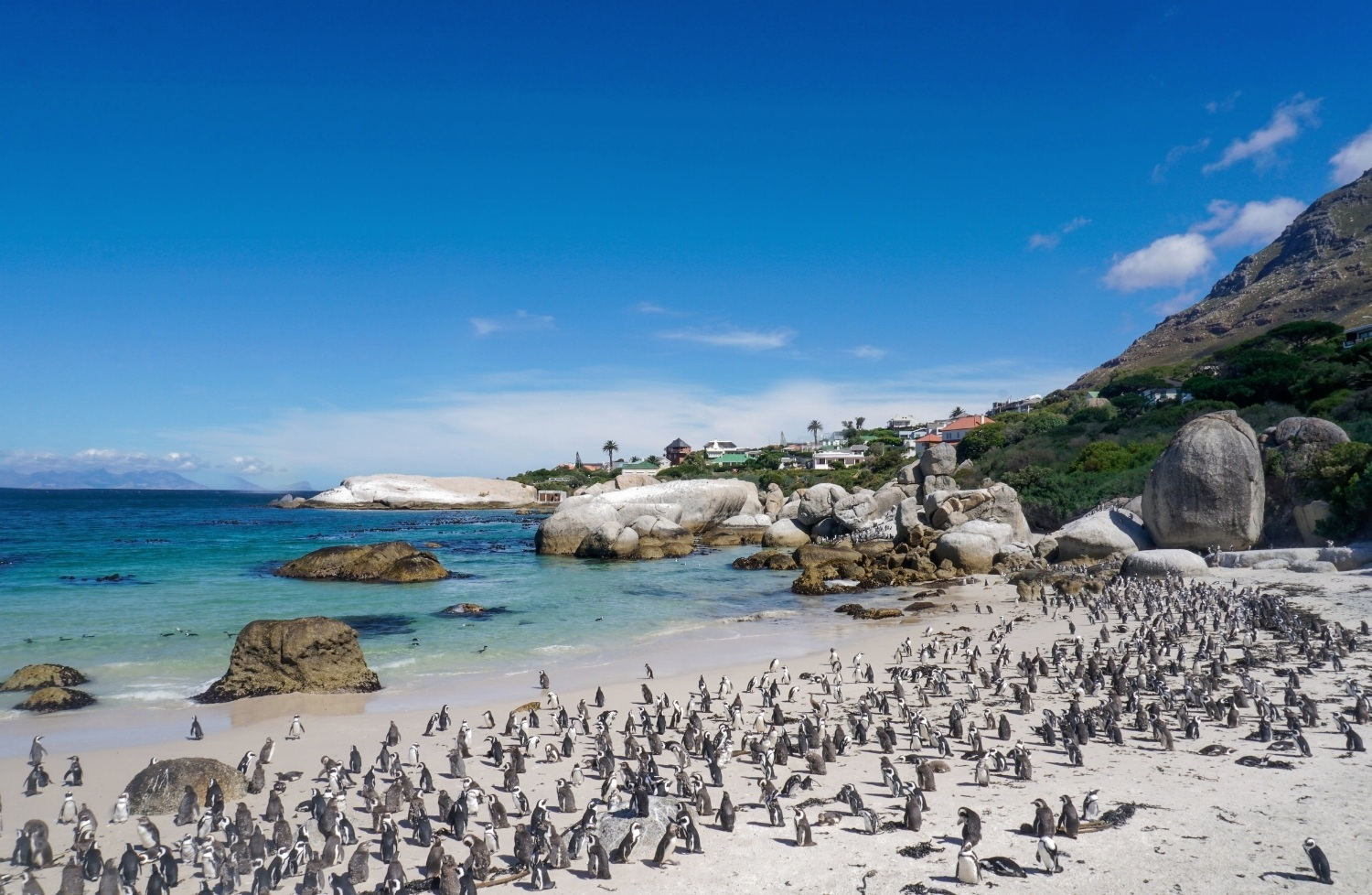 curio.trips.south.africa.boulders.beach.penguins.jpg