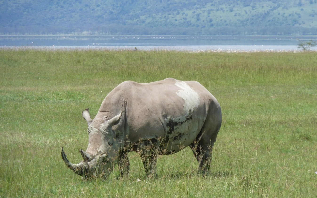 curio.trips.kenya.solo.rhino.jpg
