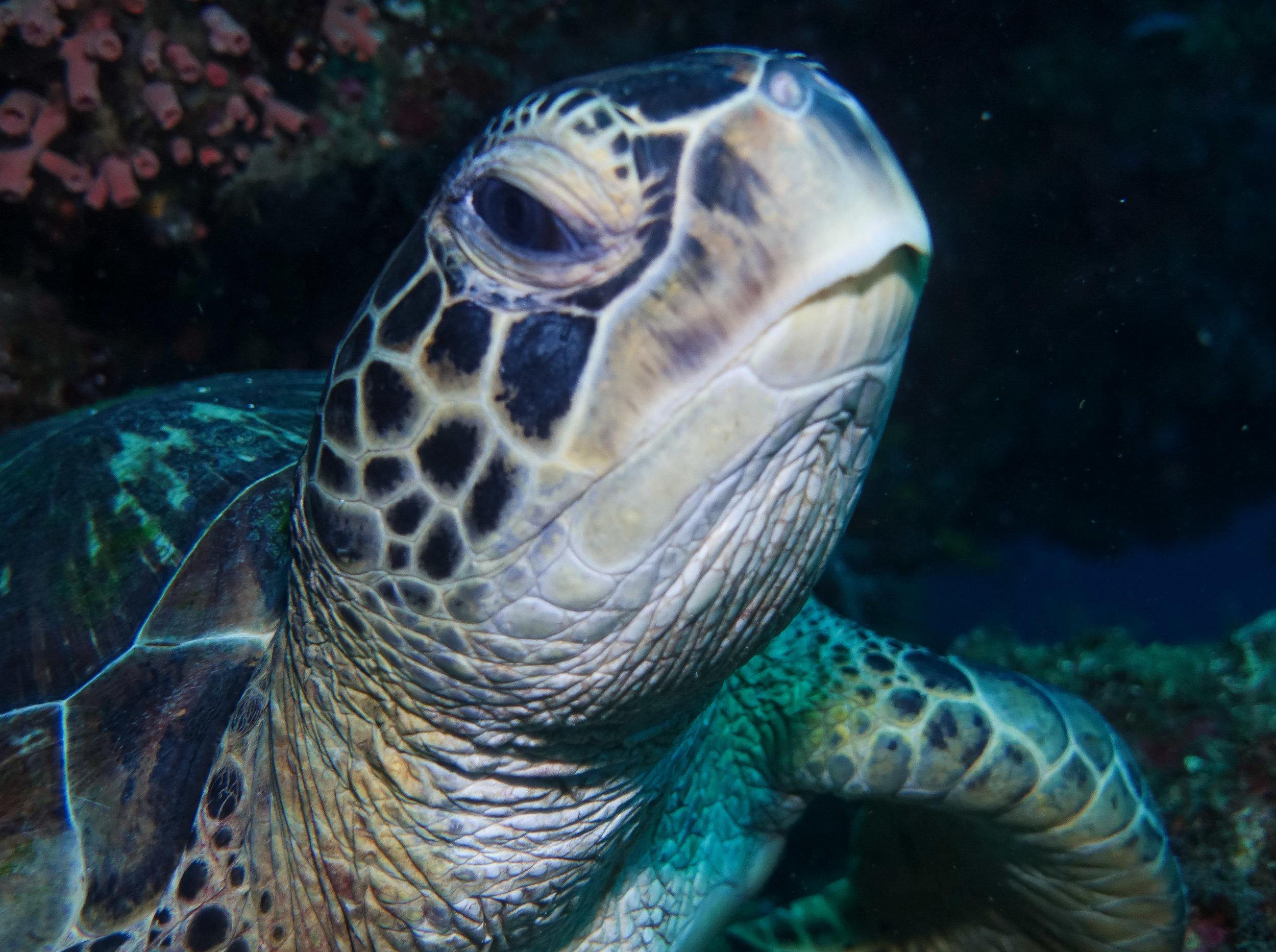 curio.trips.indonesia.diving.turtle.face.close.up.landscape.jpg