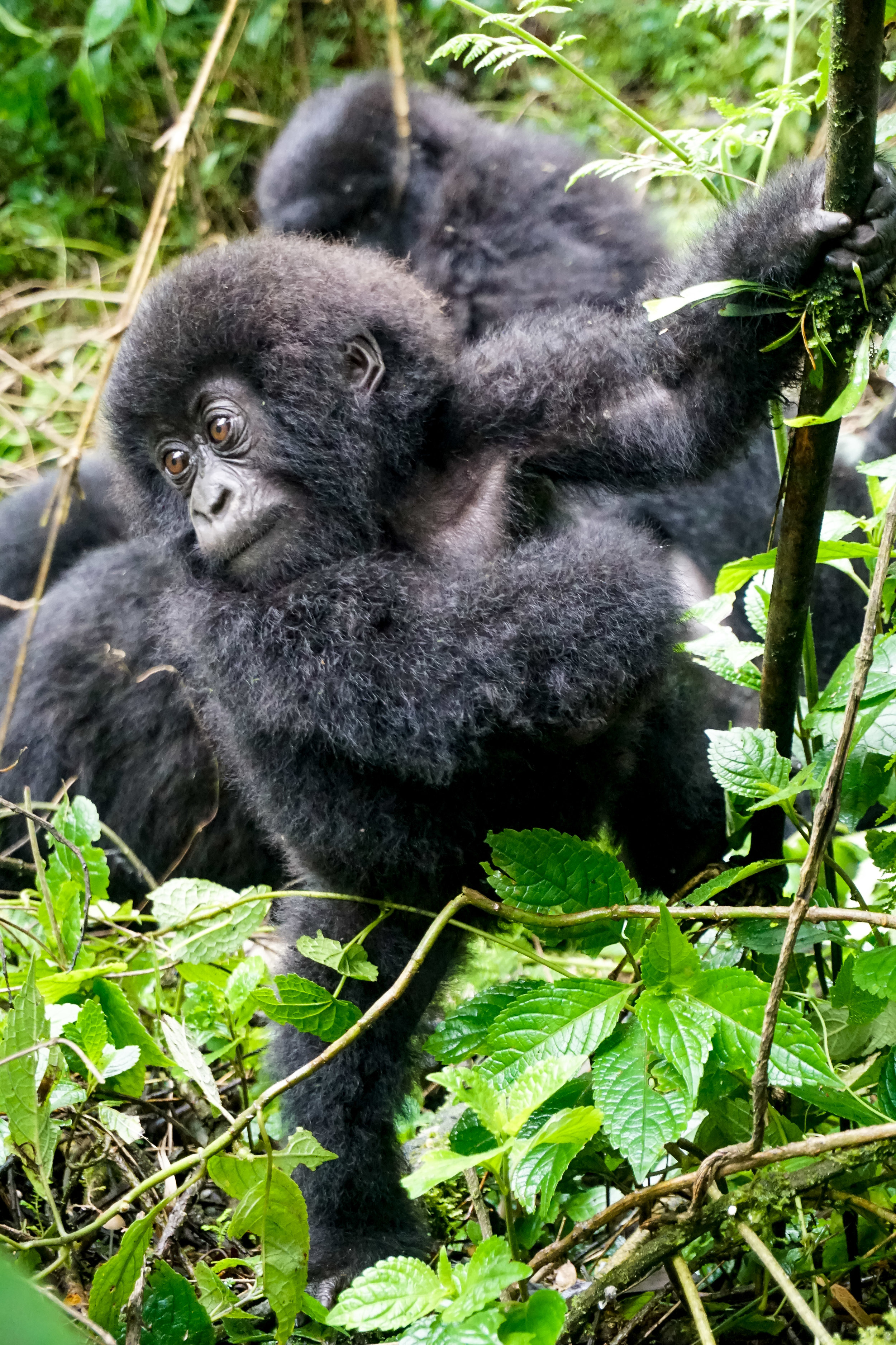 curio.trips.rwanda.baby.gorilla.profile.potrait.jpg