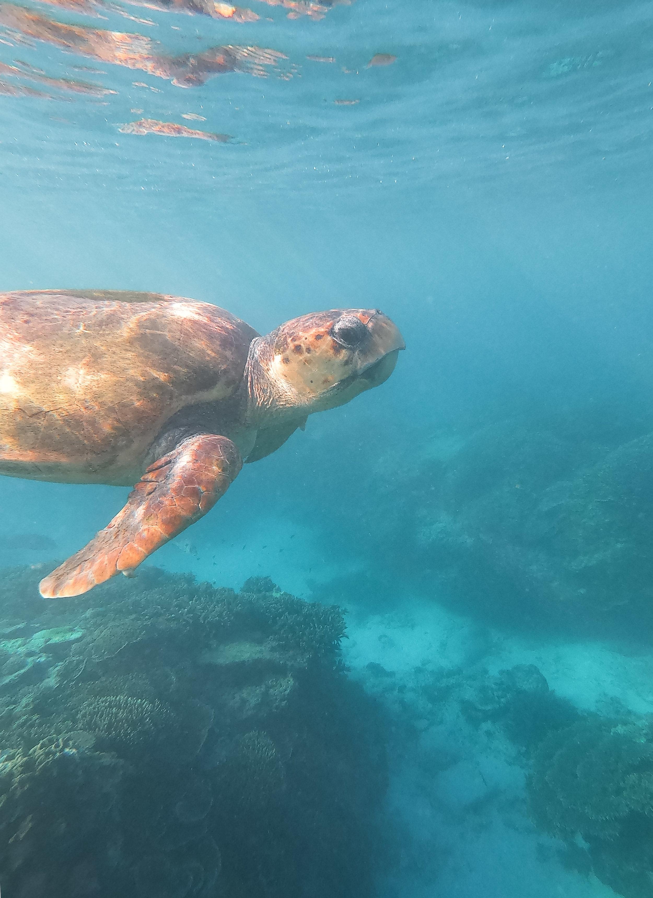 curio.trips.australia.great.barrier.reef.turtle.surface.portrait.jpg