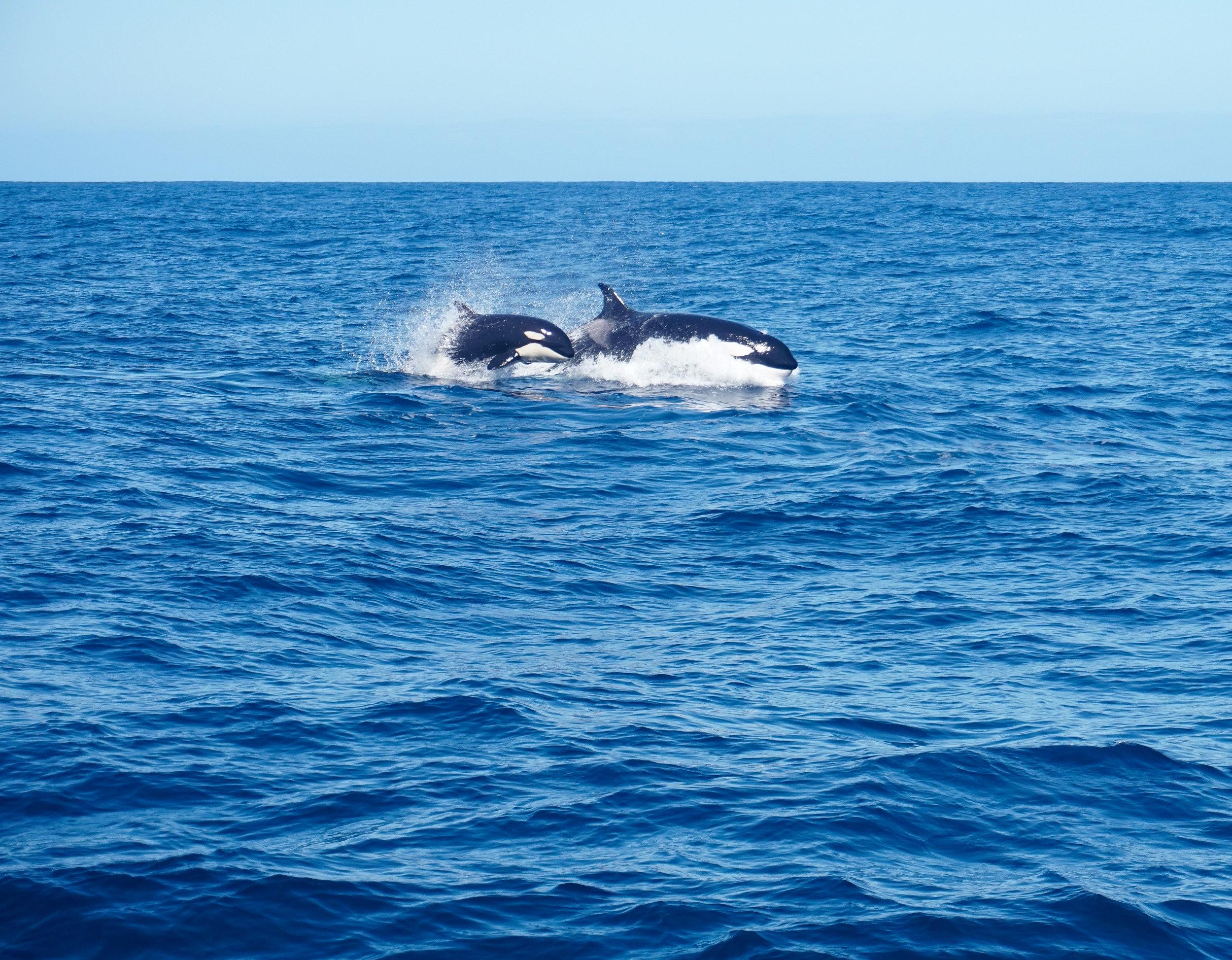 curio.trips.australia.western.whale.watching.mother.calf.landscape-2.jpg
