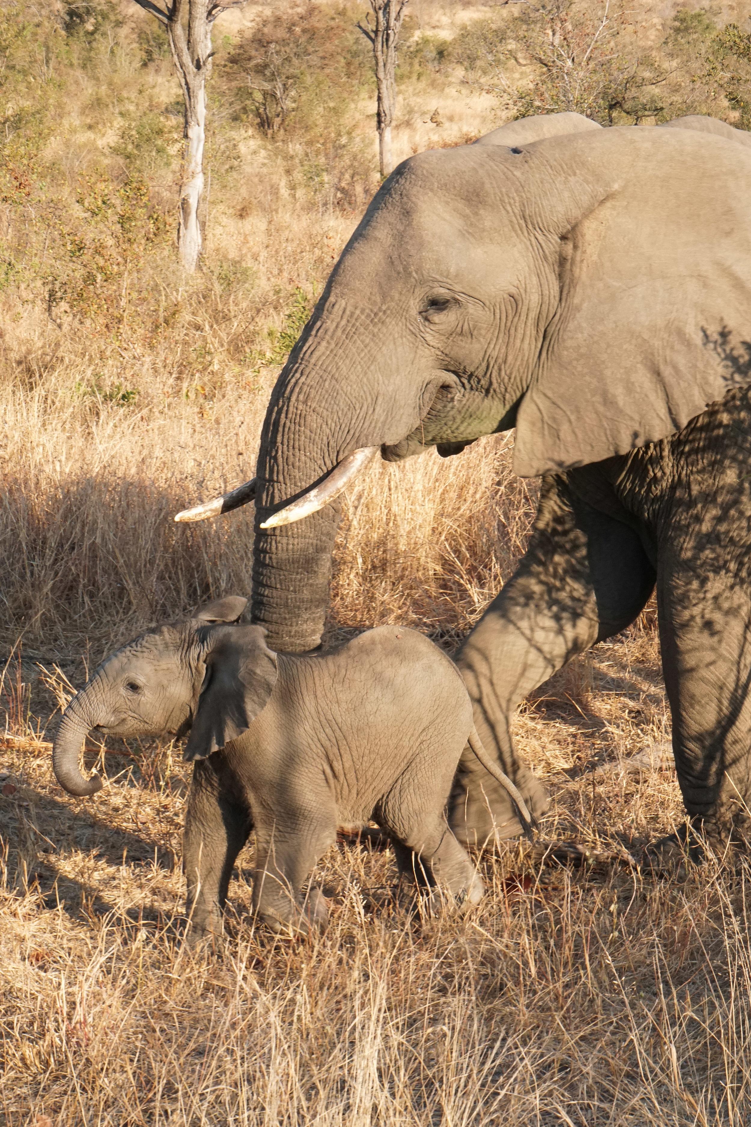 curio.trips.south.africa.safari.mama.baby.elephant.sunset.portrait.jpg