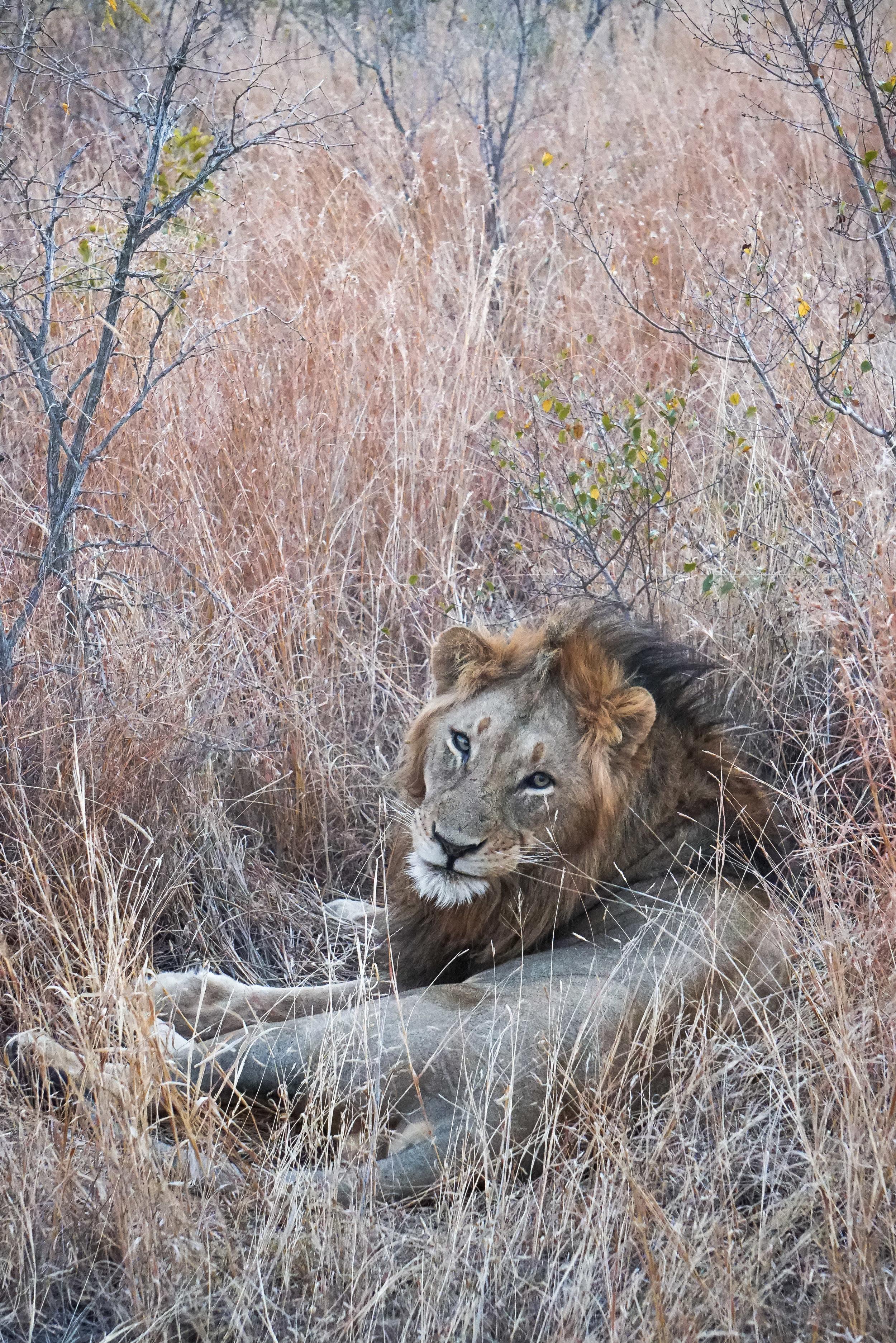 curio.trips.south.africa.safari.male.lion.stare.portrait.jpg