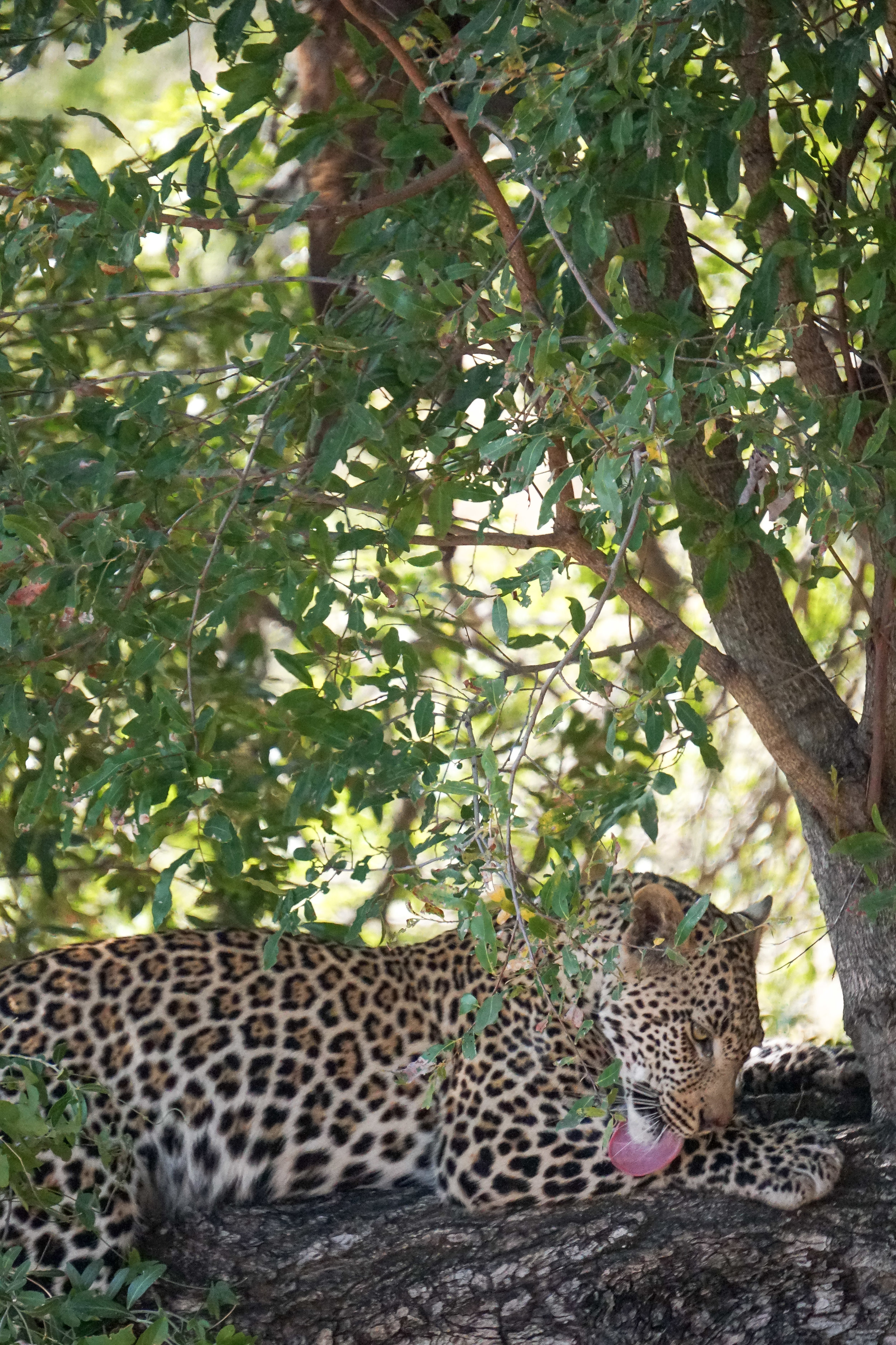 curio.trips.south.africa.safari.young.male.leopard.licking.portrait.jpg