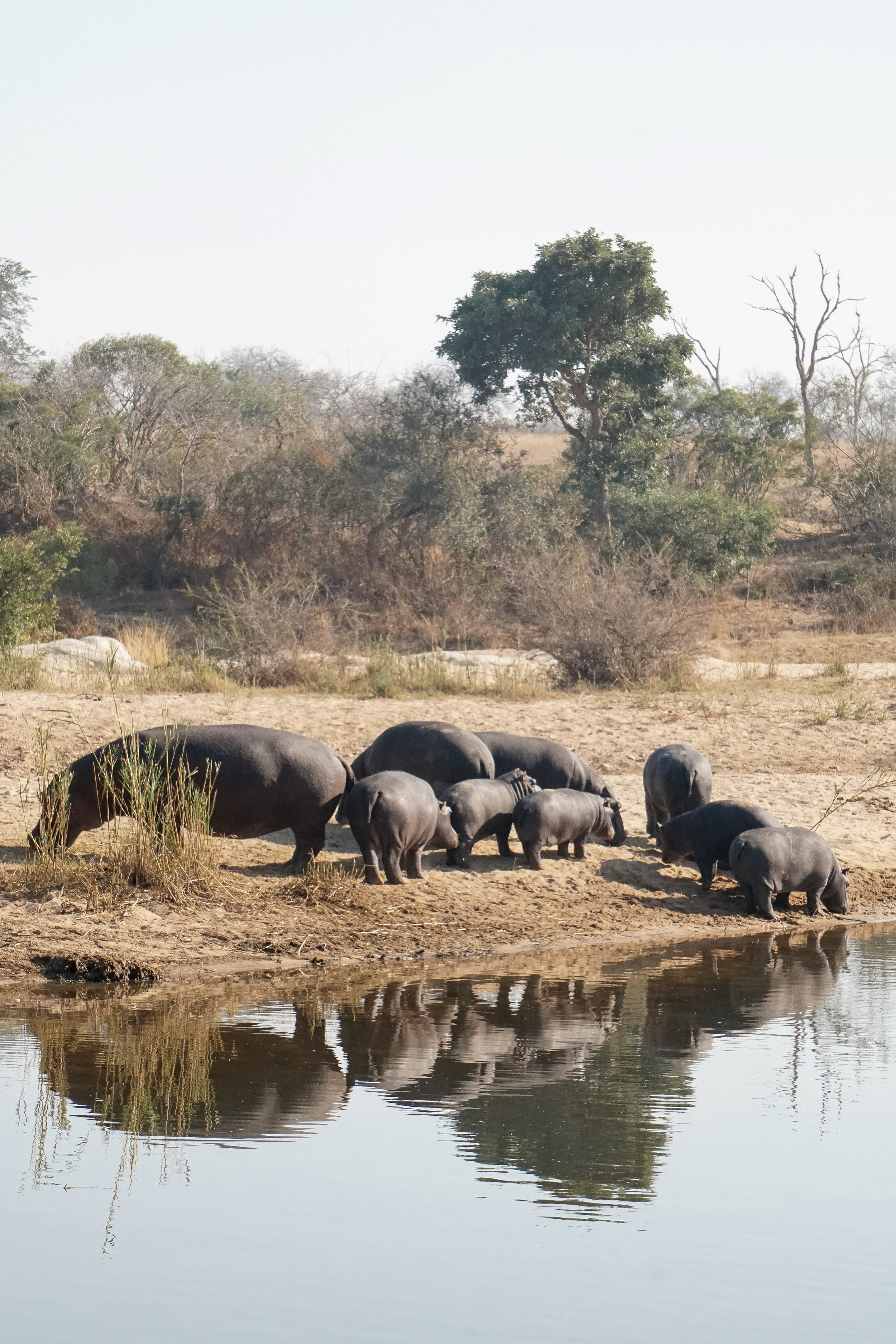 curio.trips.south.africa.safari.hippos.water.portrait.jpg