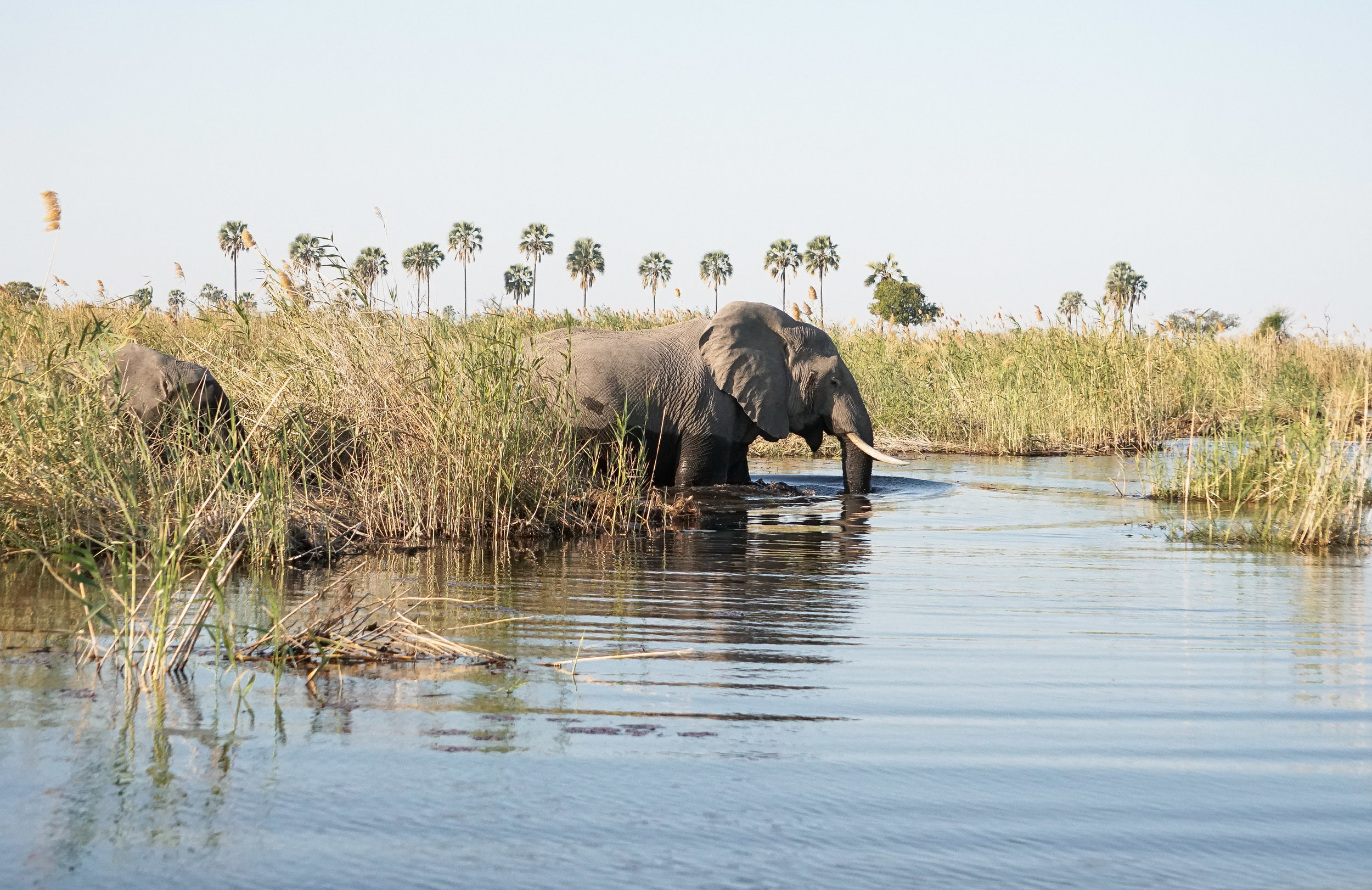 curio.trips.botswana.okavango.delta.boat.elephant.crossing.mama.landscape.jpg
