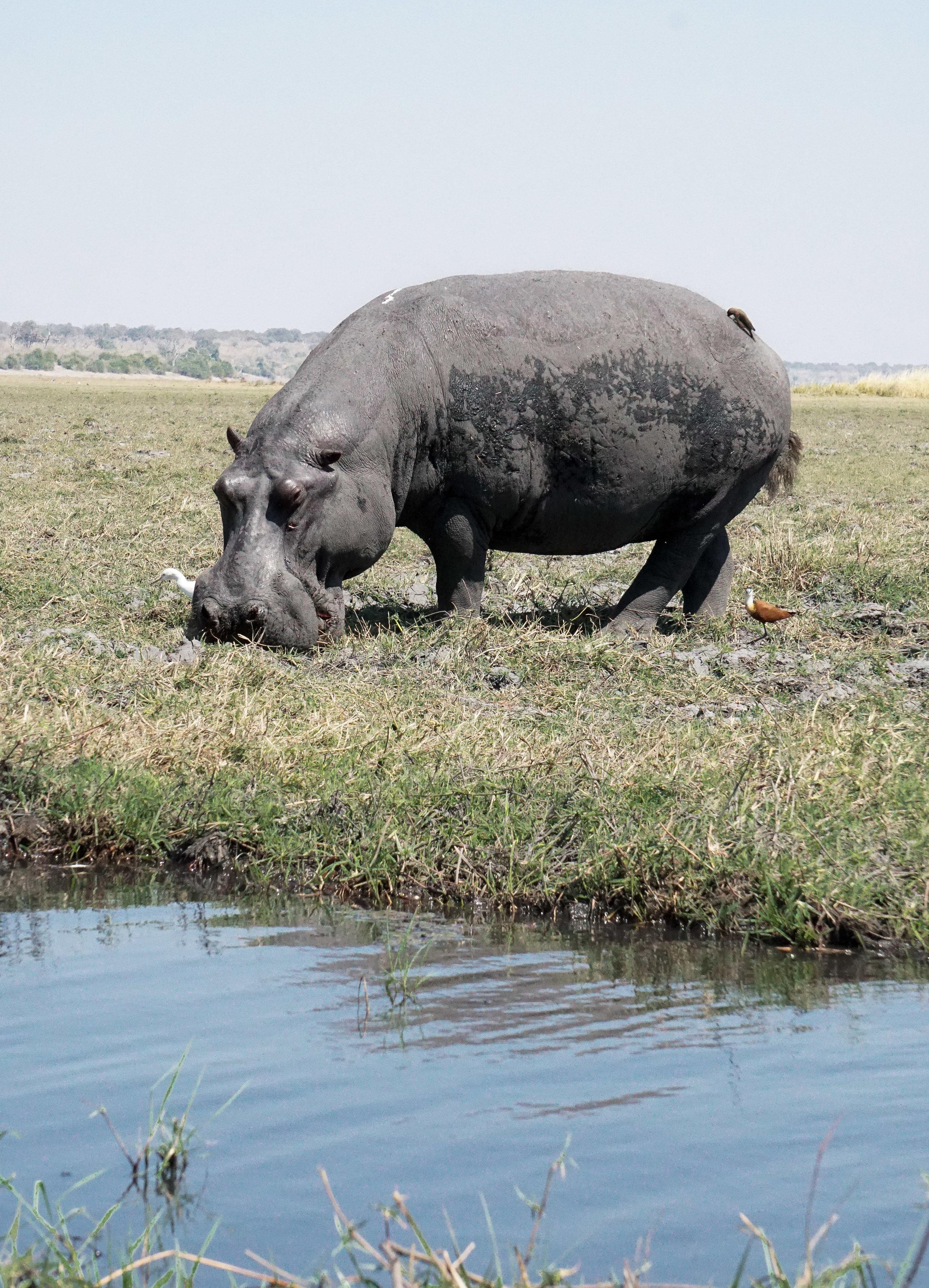 curio.trips.botswana.okavango.delta.boat.hippo.eating.portrait.jpg