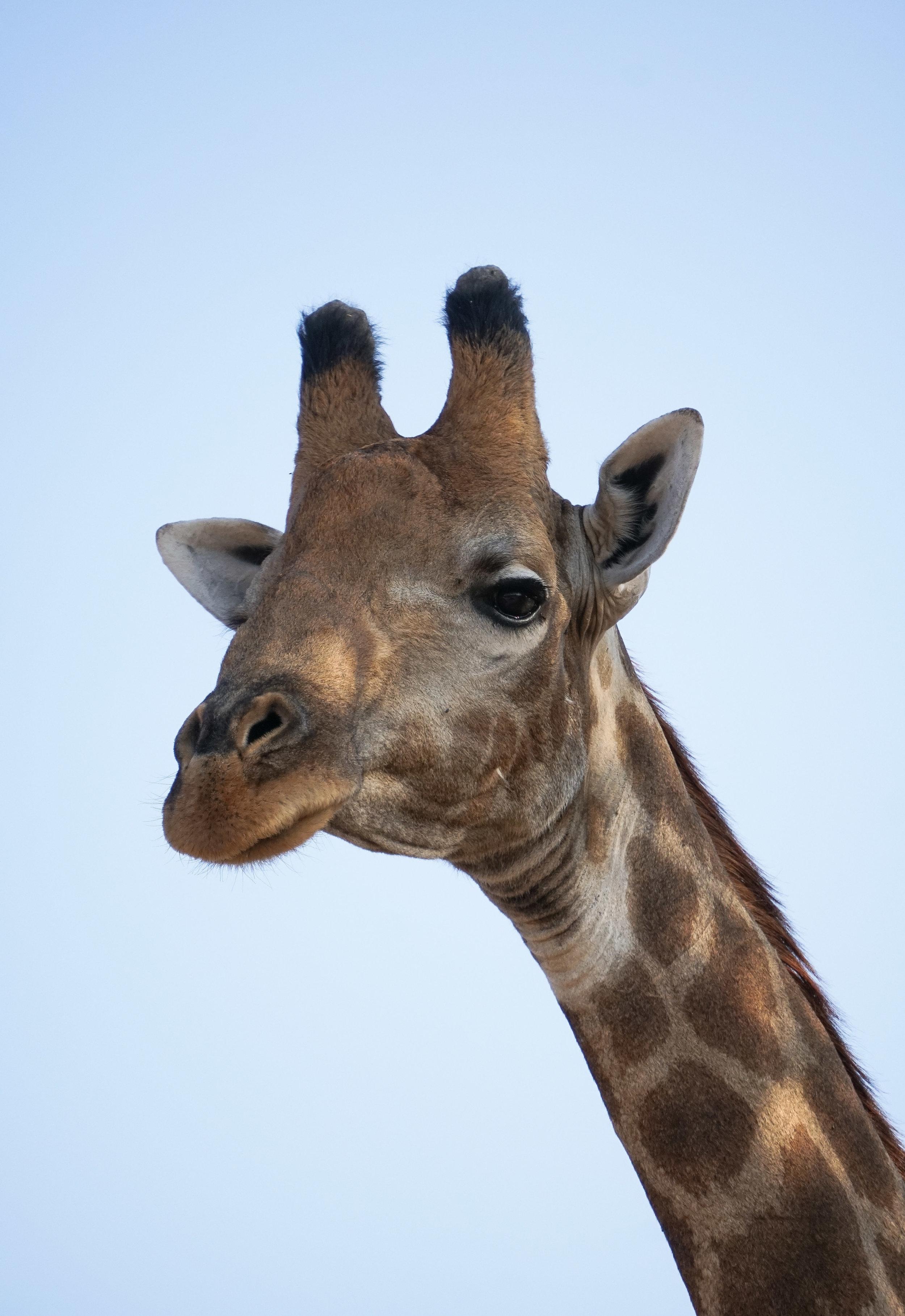 curio.trips.botswana.okavango.delta.giraffe.stare.close.up.portrait-2.jpg