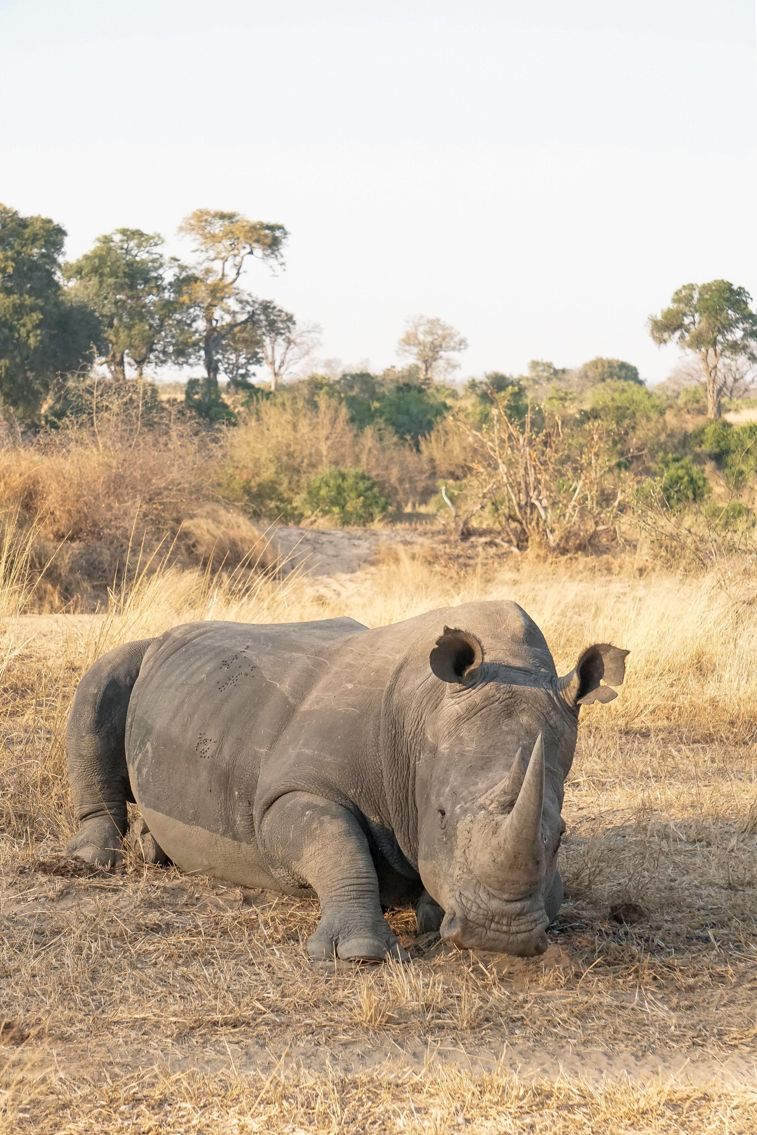 curio.trips.south.africa.safari.white.rhino.sat.portrait.jpg