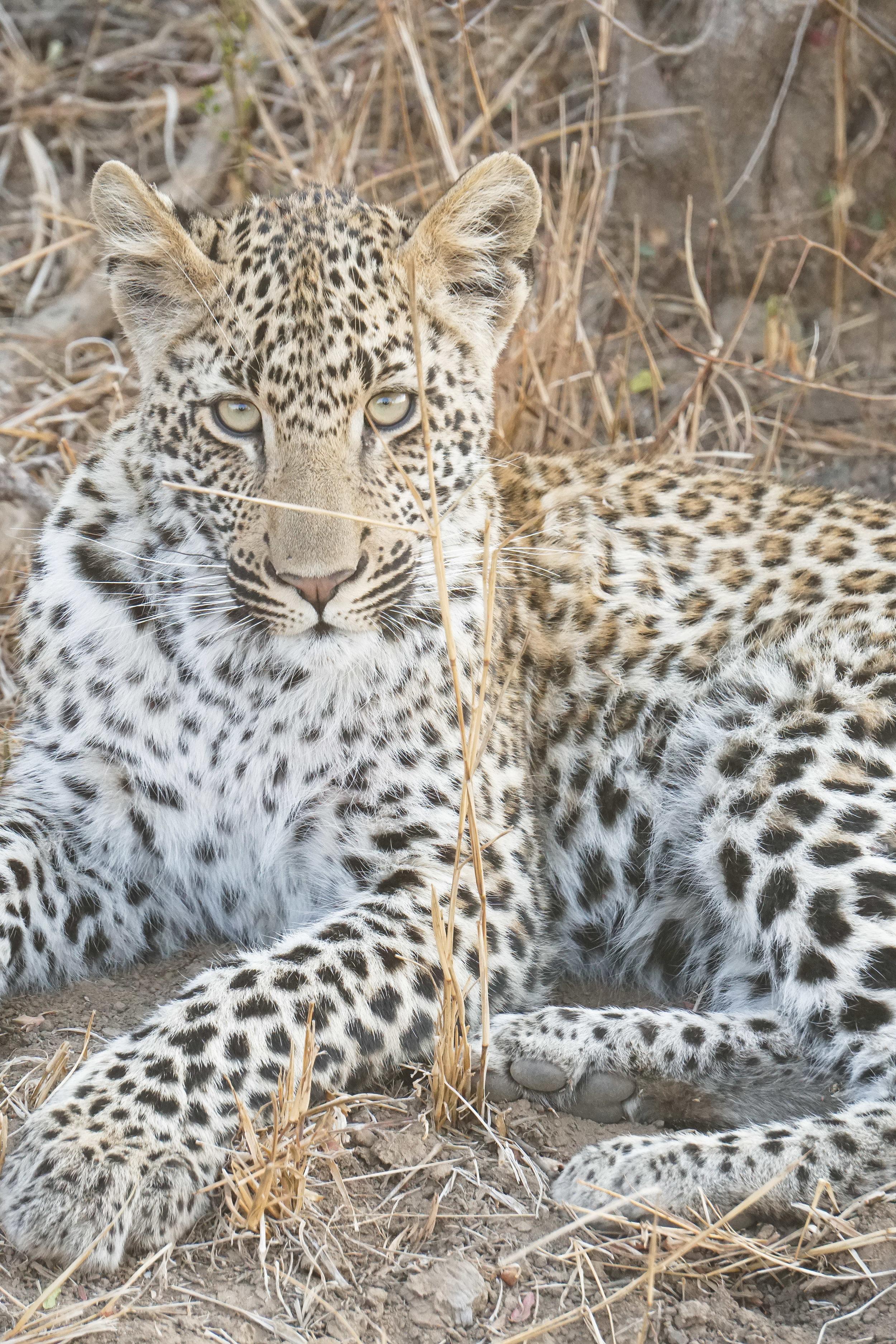 curio.trips.south.africa.safari.leopard.stare.portrait.jpg