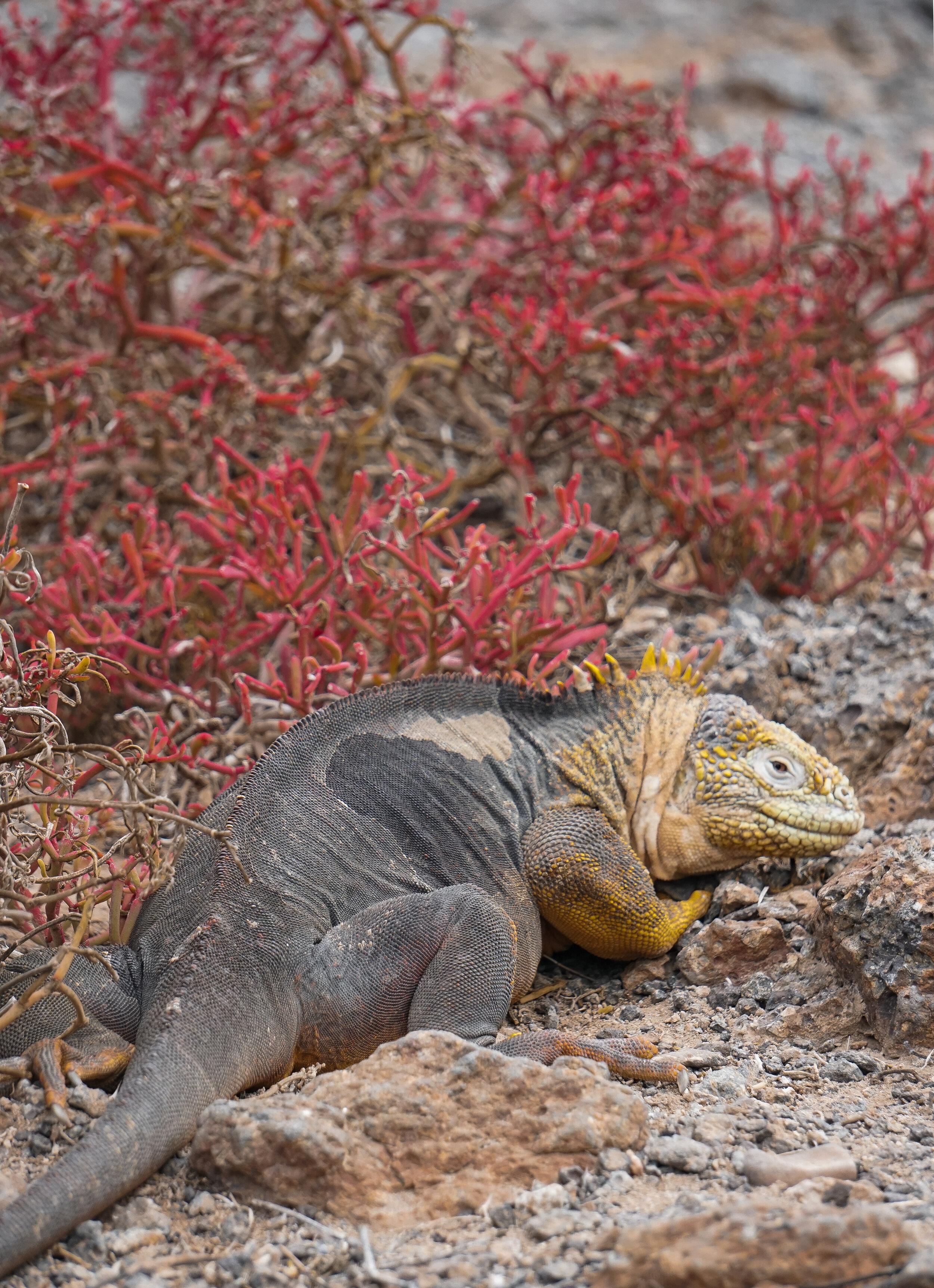 curio.trips.ecuador.galapagos.islands.land.iguana.red.plant.portrait.jpg