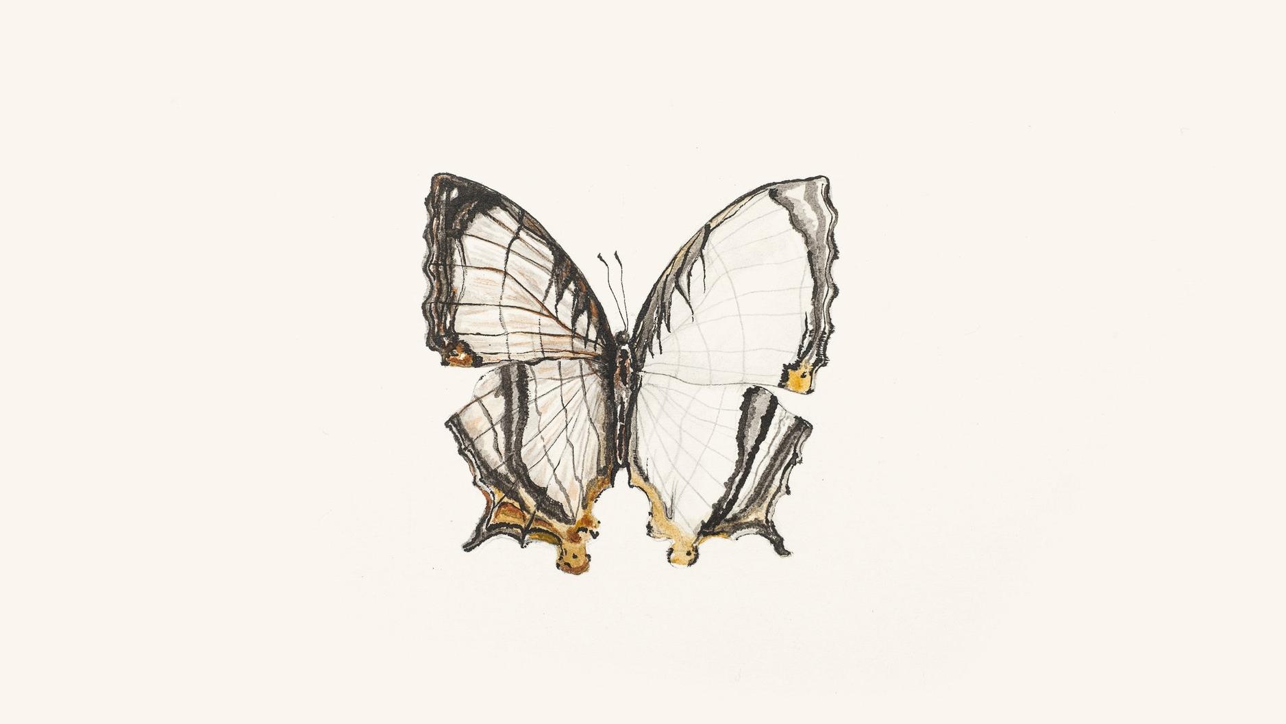 "ilustração borboleta ""the common map"" ( Cyrestis thyodama )"