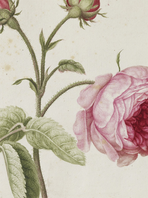 A detail I captured from The Royal Collection's downloadable file of one of Marshal's Rose of Province paintings.