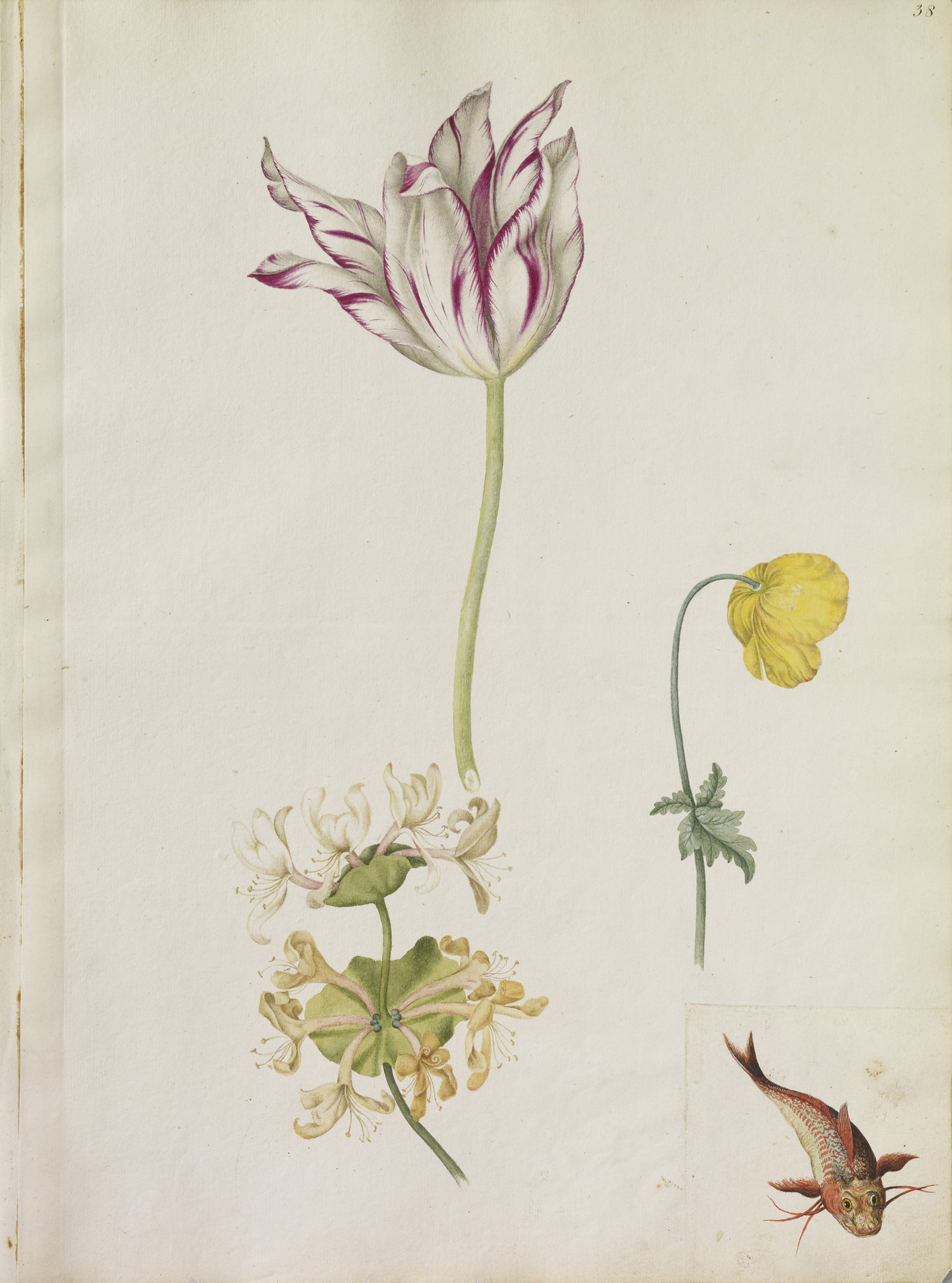A striped Tulip, a sprig of Honeysuckle, a yellow poppy and also a Minor Fish (pasted on).