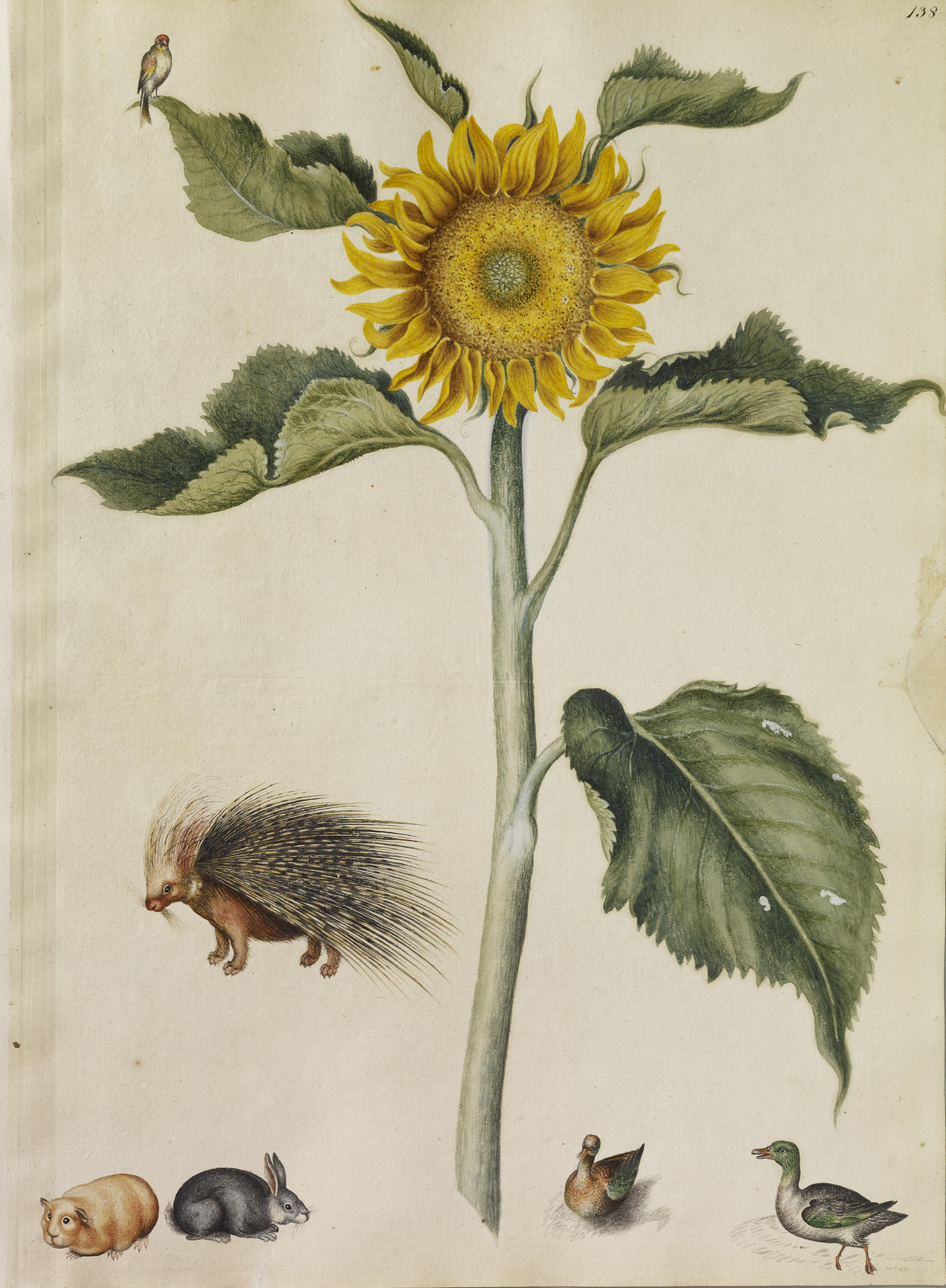 A Sunflower, a Porcupine, Rabbit, Guinea-Pig, Two Ducks and a Goldfinch