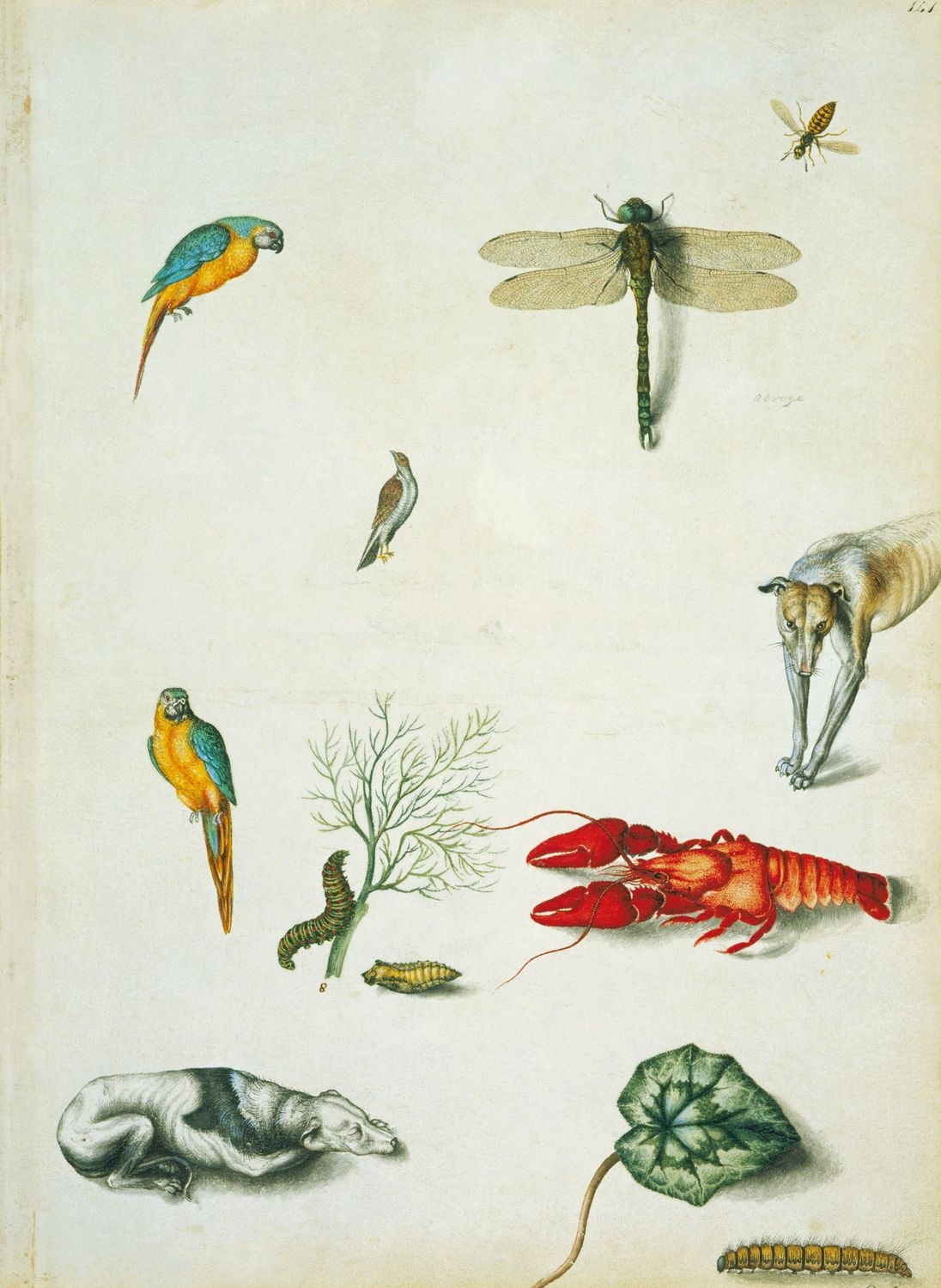 Blue and yellow macaws, southern hawker, wasp, unidentified bird, caterpillar and chrysalis of swallowtail butterfly, crayfish, greyhounds, cylcamen leaf, and oak eggar caterpillar.