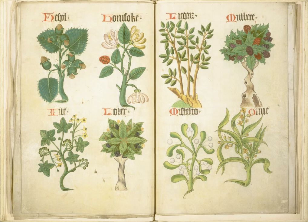 A page from the  Helmingham Herbal and Bestiary , depicting Hazel, Honeysuckle, Ivy, Laurel, Licorice, Mulberry, Mistletoe, and Olive.