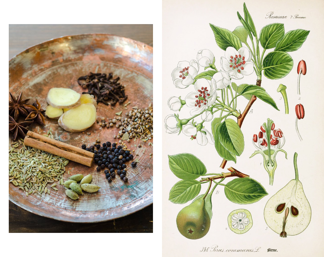 The image on the left is from  thekitchn.com . The botanical illustration on the right is of the Common Pear, or Pyrus Communis,from  Flora of Germany , circa 1903.