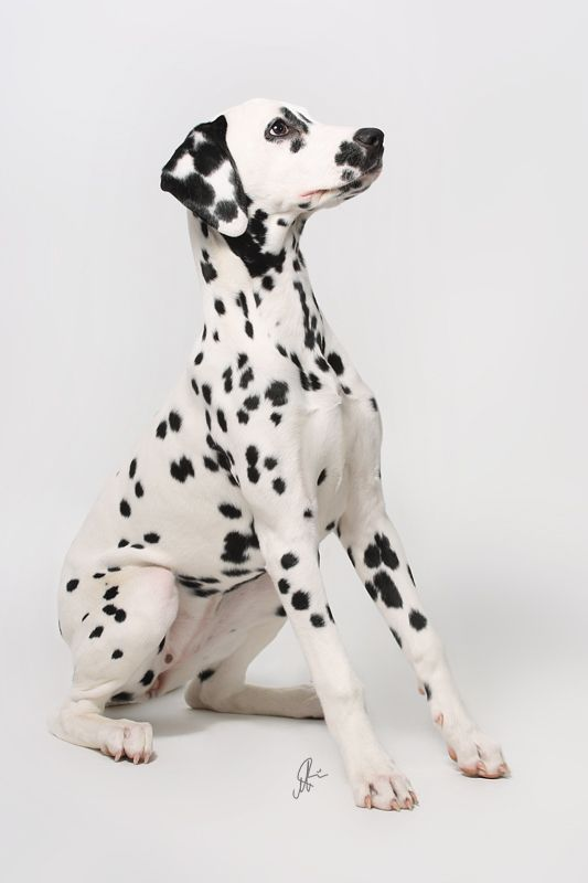 One of the images I drew from when painting my dalmatians.
