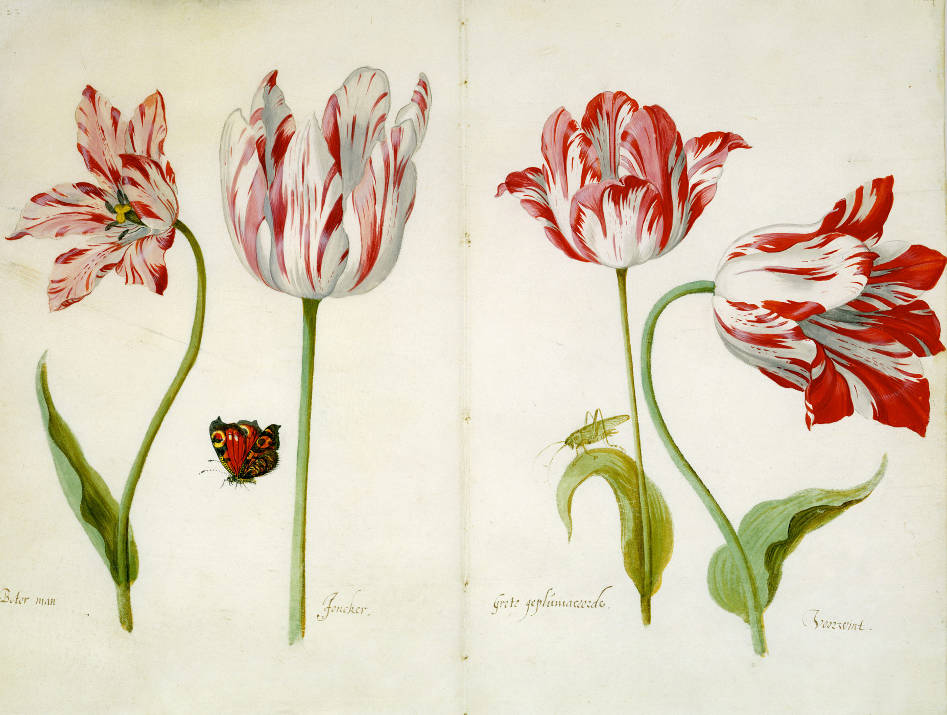 Tulips by Jacob Marrel,a German still life painter active in Utrecht during the Dutch Golden Age who specialized in flowers and his famous for his tulips, of which he painted six books.