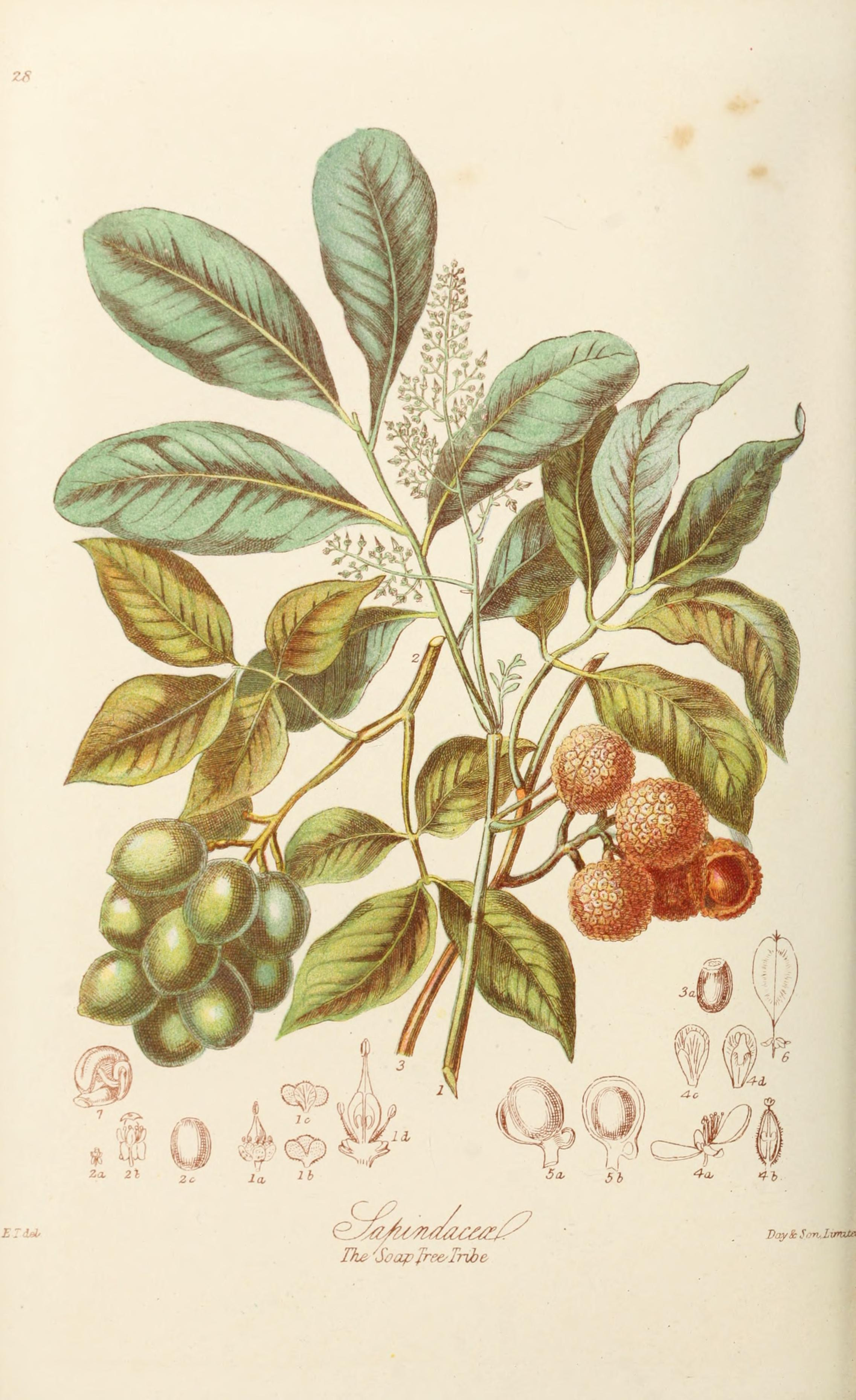 'The Soap Tree Tribe,' illustration from  Illustrations of the Natural Orders of Plants with Groups and Descriptions  by  Elizabeth Twining. Published London, 1868. Image from the  Biodiversity Heritage Library .