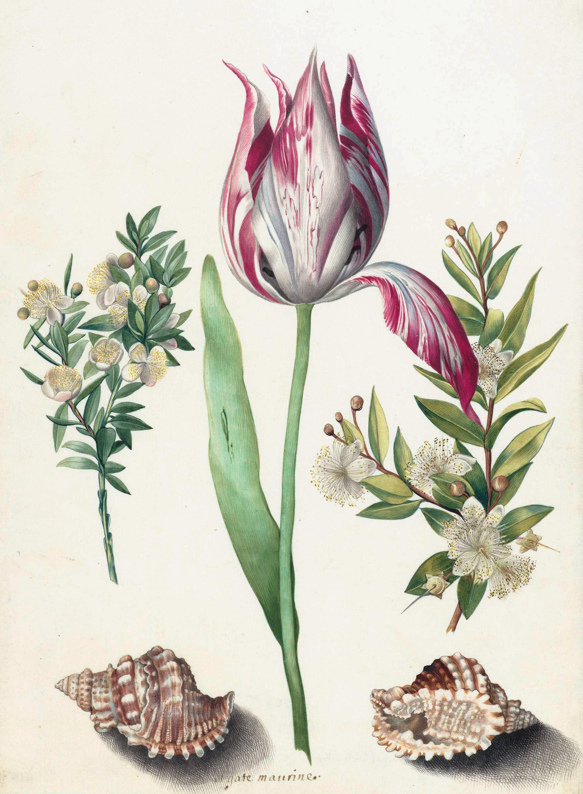 Tulip, two brances of myrtle, and two shells, Maria Sibylla Merian, 1700.  From  Trivium Art History .