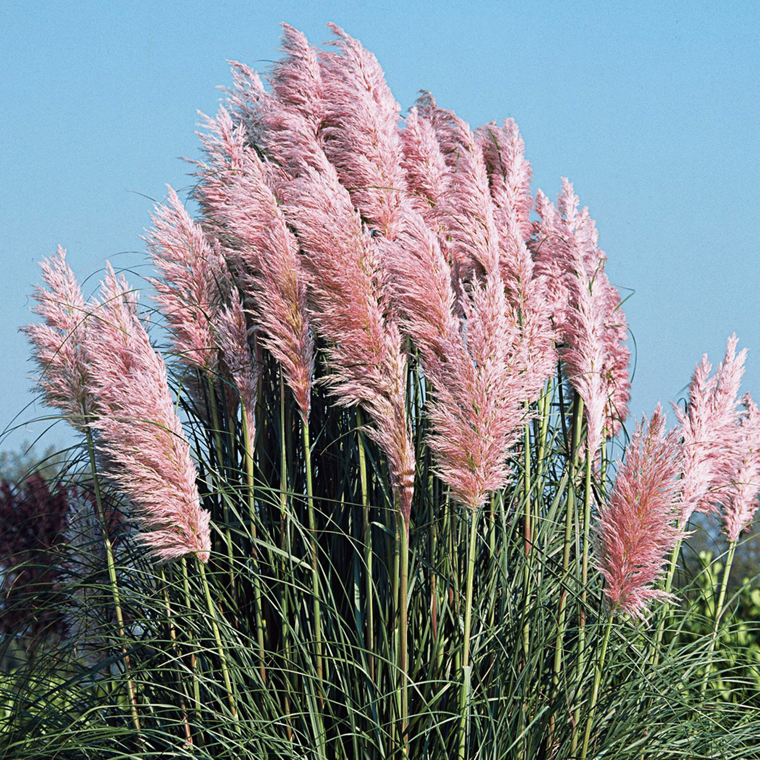 Cortaderia-selloana-Pink-Feather-Pink-Pampas-Grass CAN USE INSTA.jpg