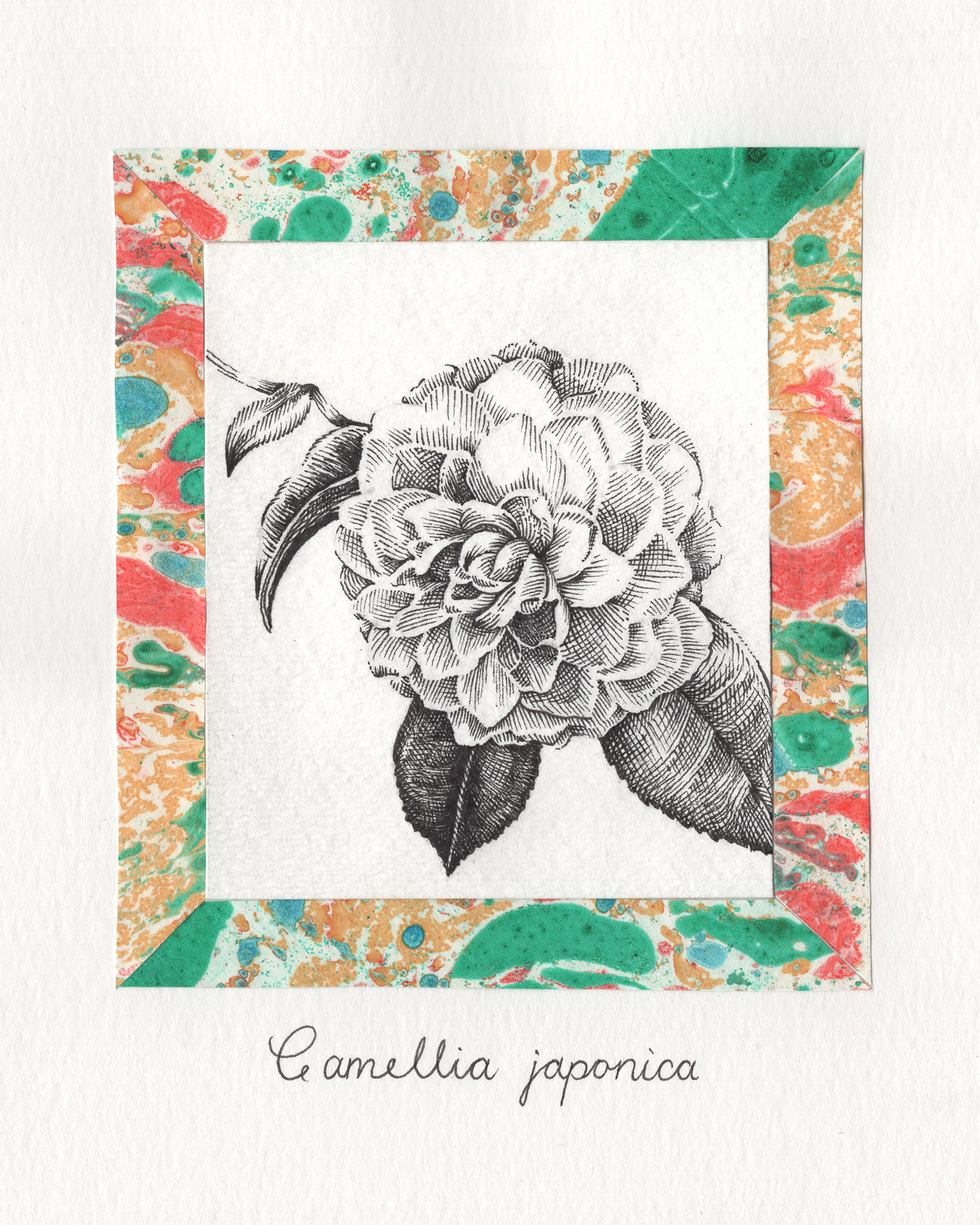 Camellia japonica 4 x 5.jpg