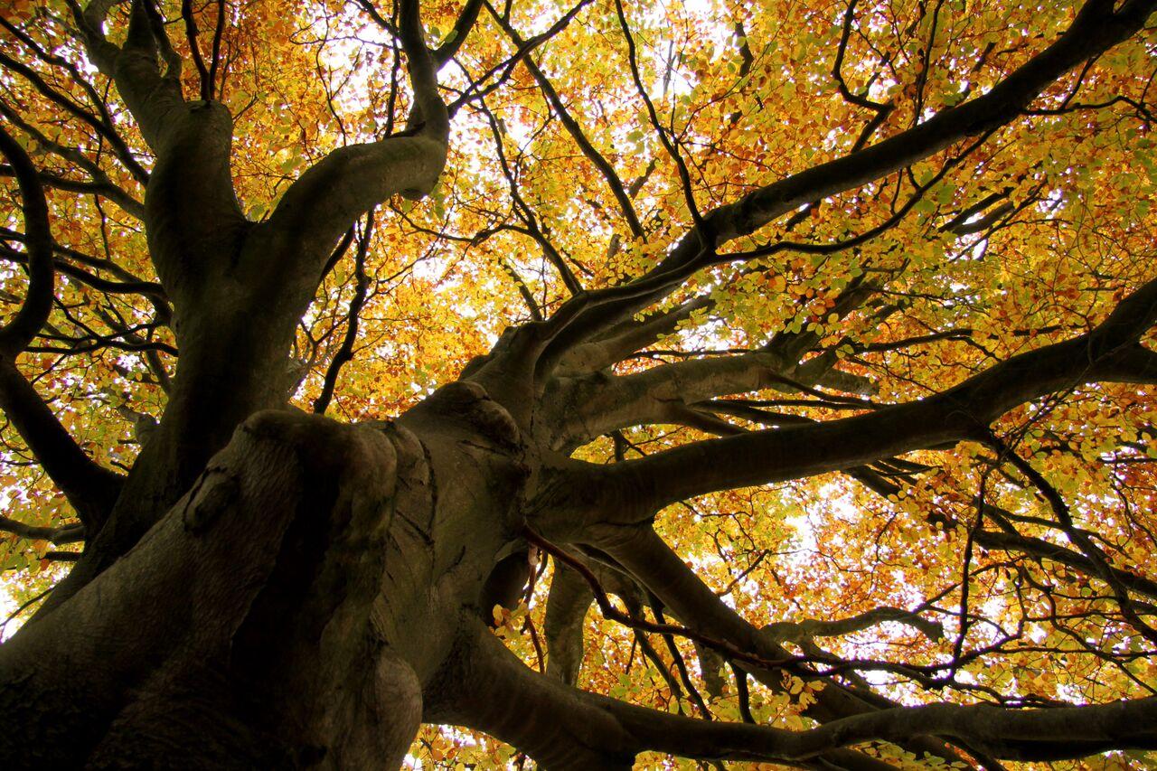 Mooiste boom van Doornspijk