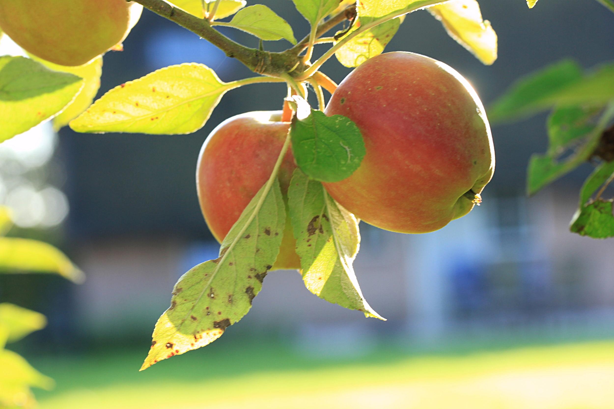 Rijpe appel aan eigen appelboom