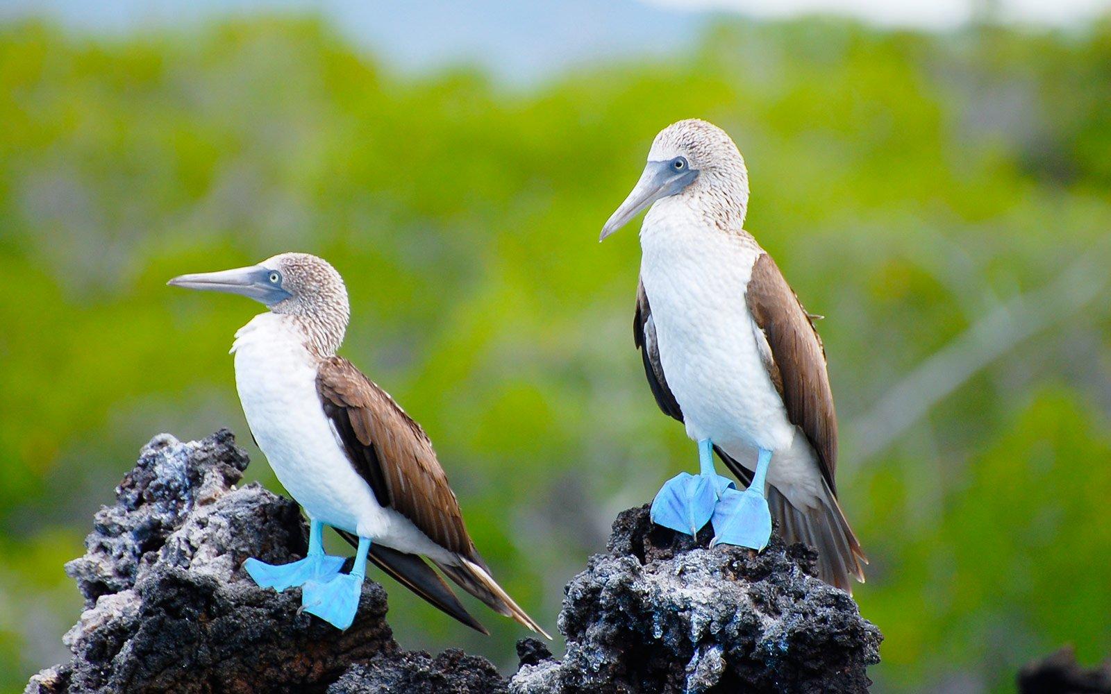 blue-footed-booby-galapagos-ecuador-GALAPA1104_2048x2048.jpg