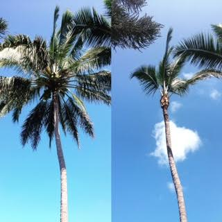Keep your Coconut trees beautiful and safe starting at $75 per tree