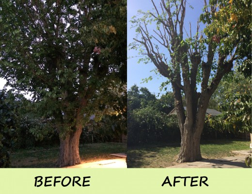 Avocado Tree before & after
