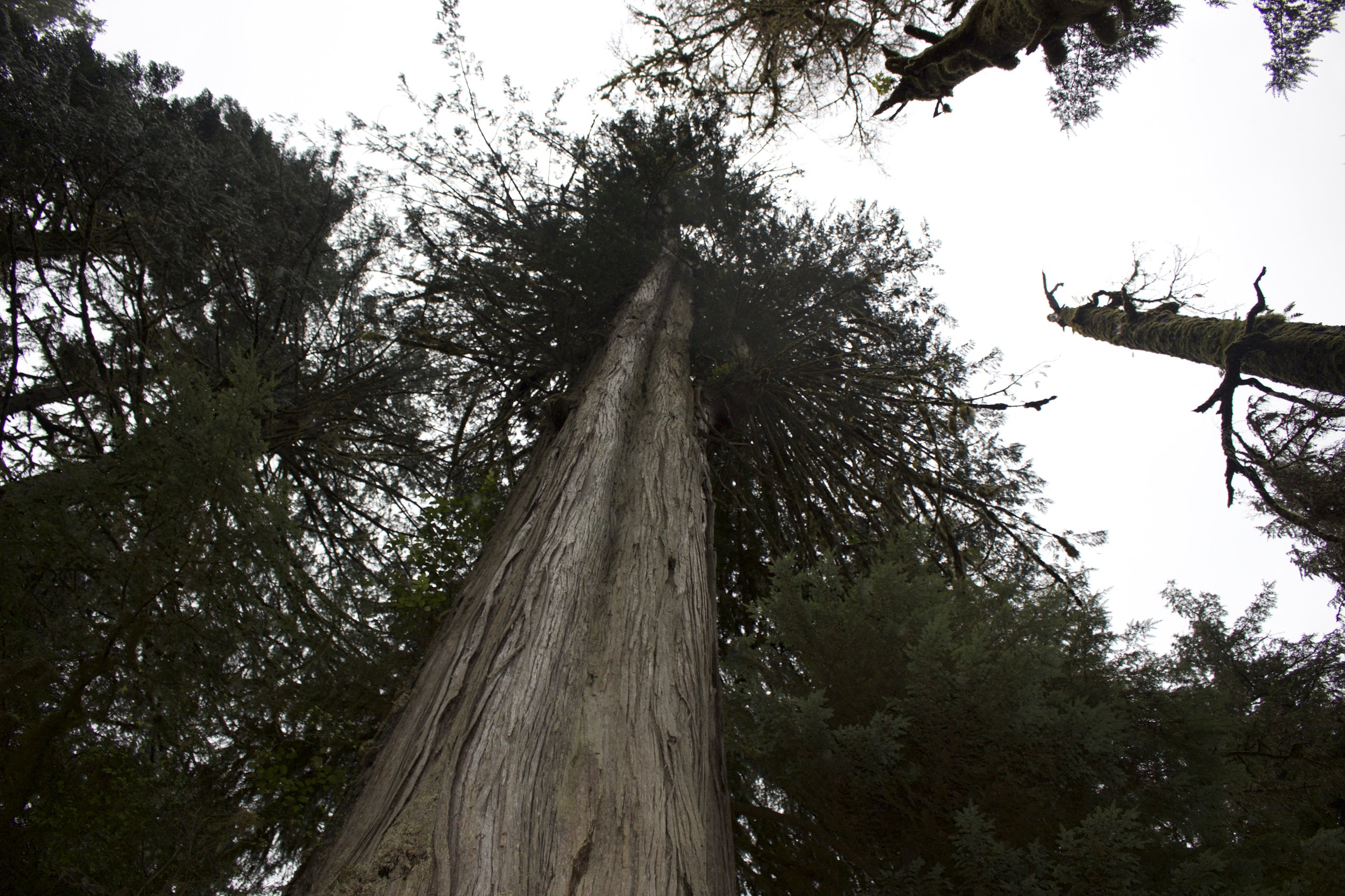 One of many majestic trees in the forest