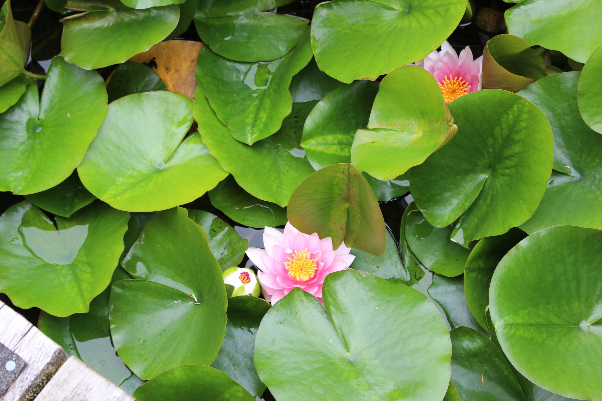 The lily pond would have been Monet's dream!