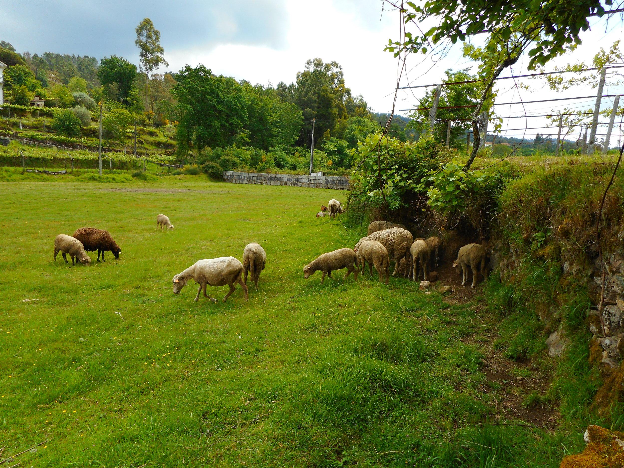 Napping sheep along the way