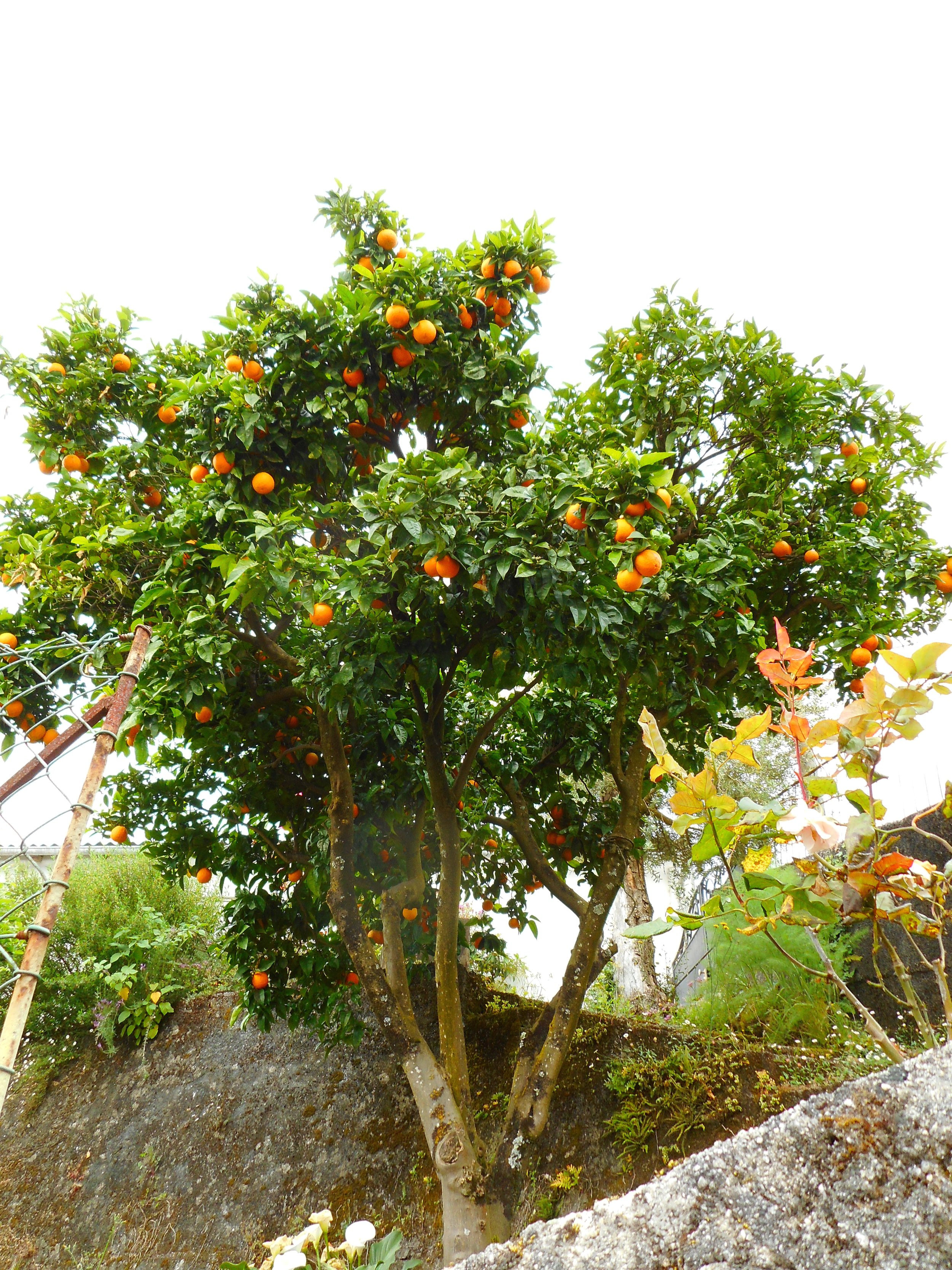 Citrus trees were everywhere