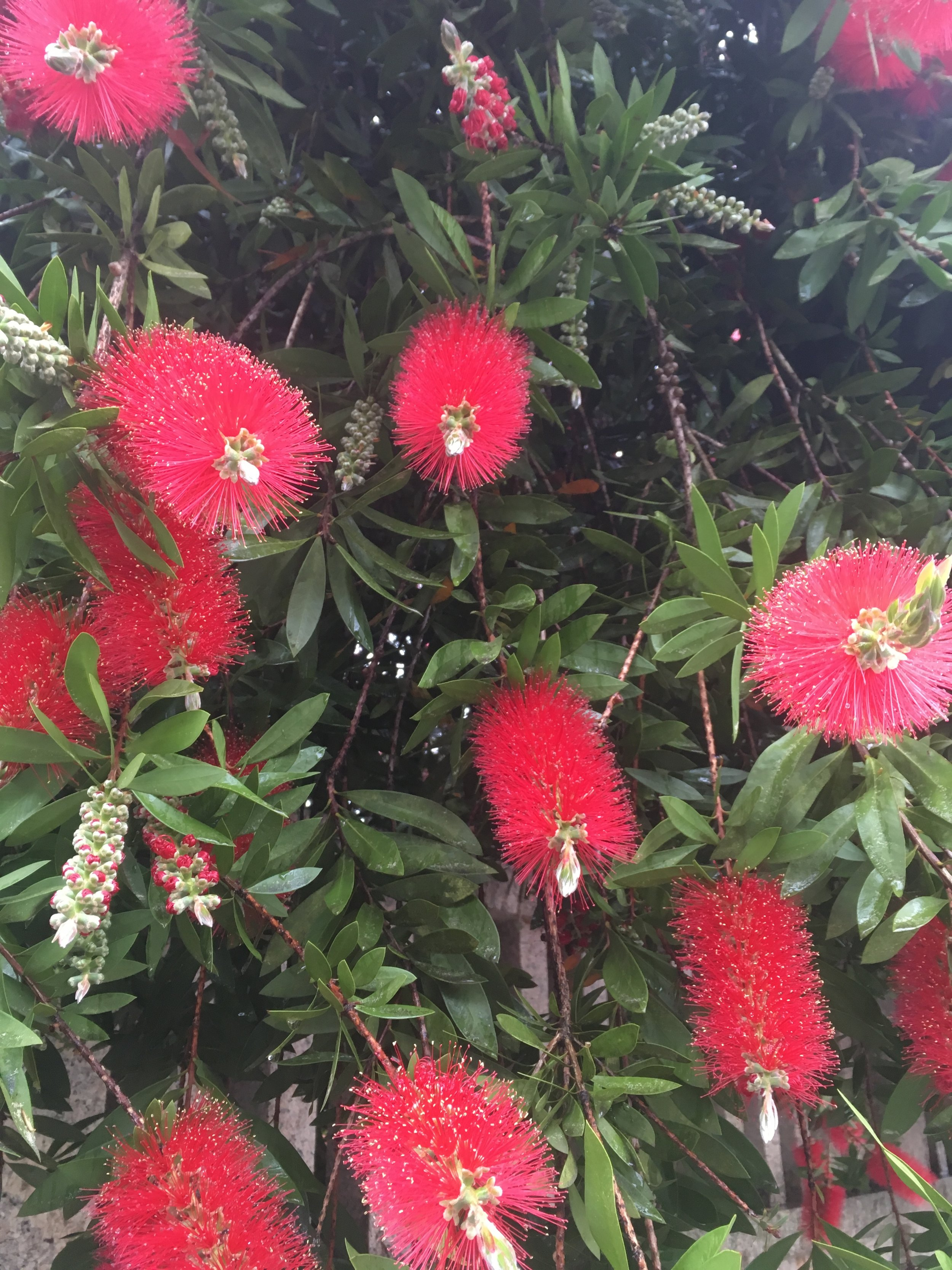 The beautiful bottlebrush flowers that we absolutely loved!