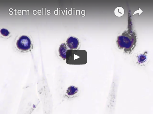 Stem cells moving and dividing