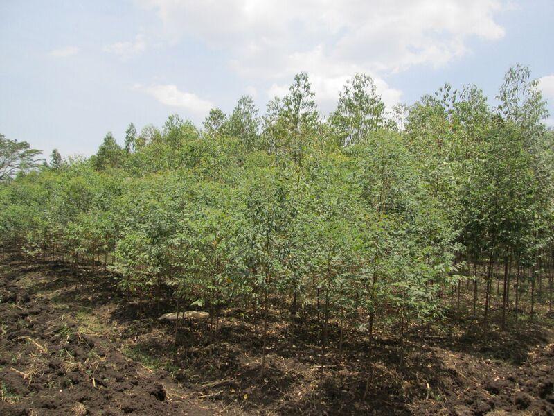 Tree nursery at Alara